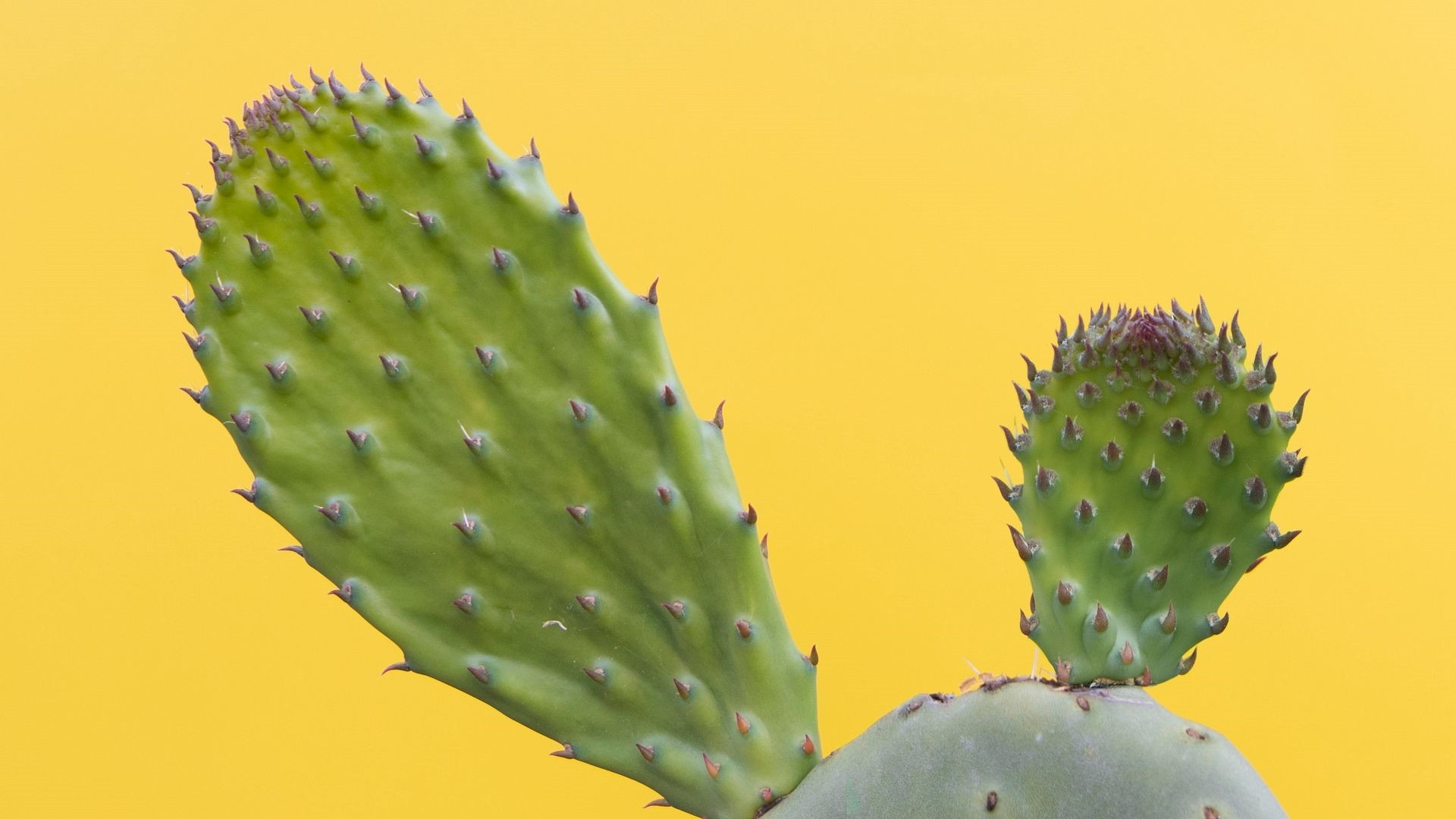 Cactus Minimalist wallpaper photo hd