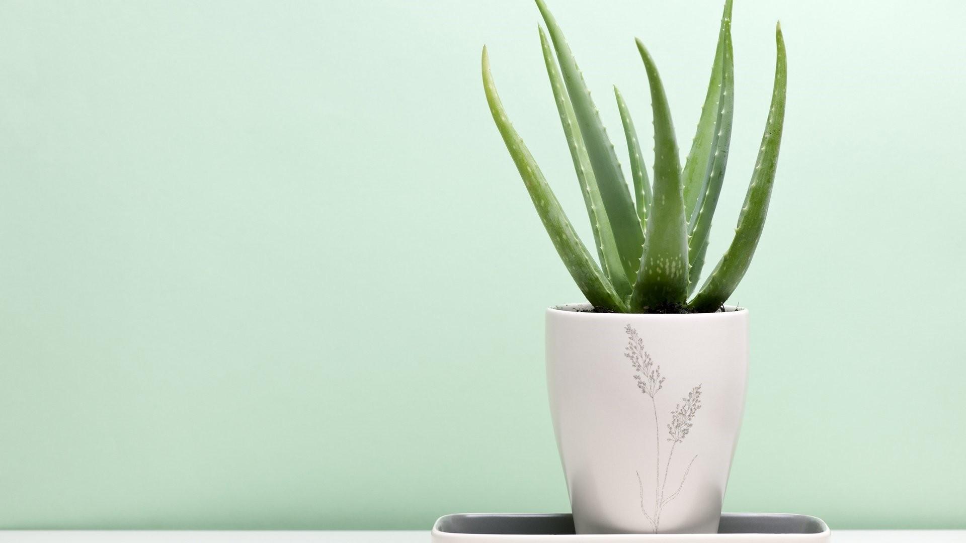 Cactus Minimalist Wallpaper
