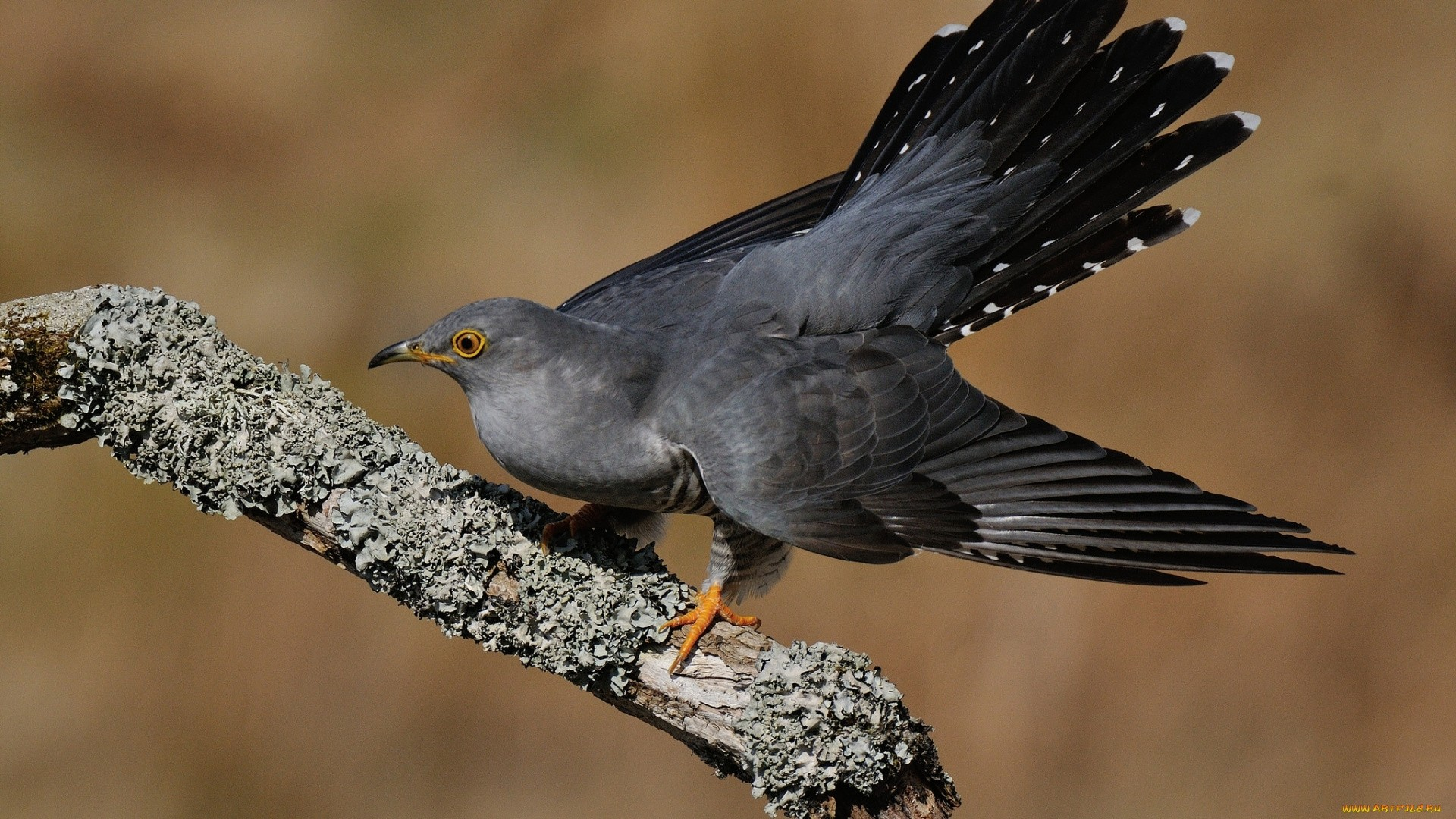 Cuckoo Picture