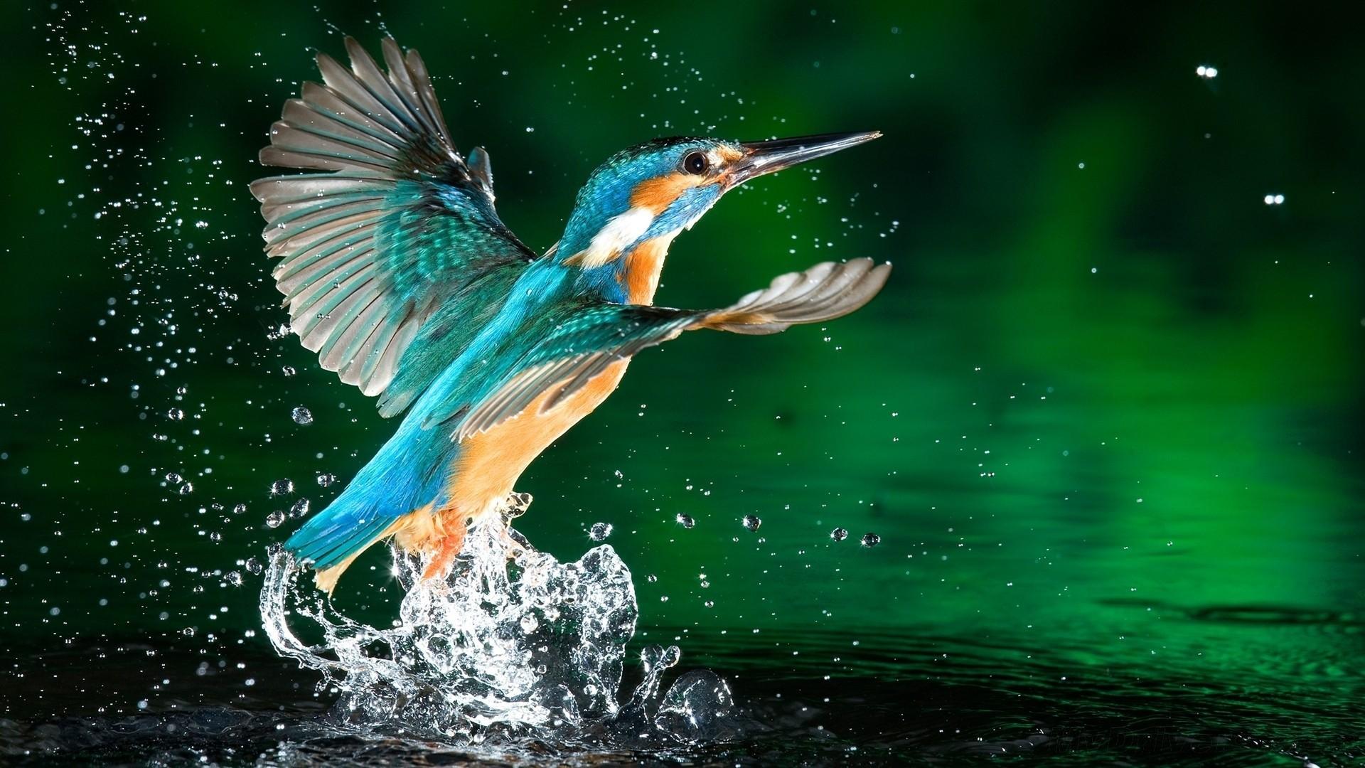Kingfisher Image