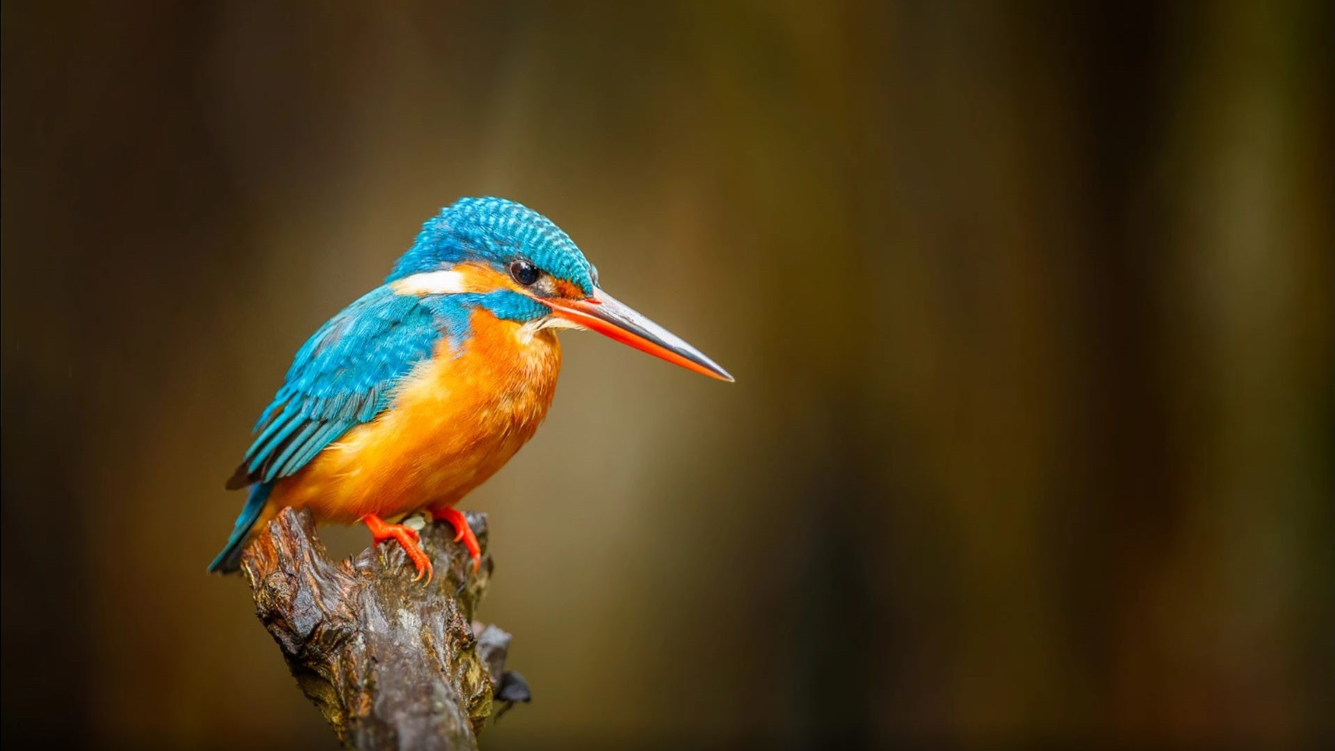 Kingfisher Picture