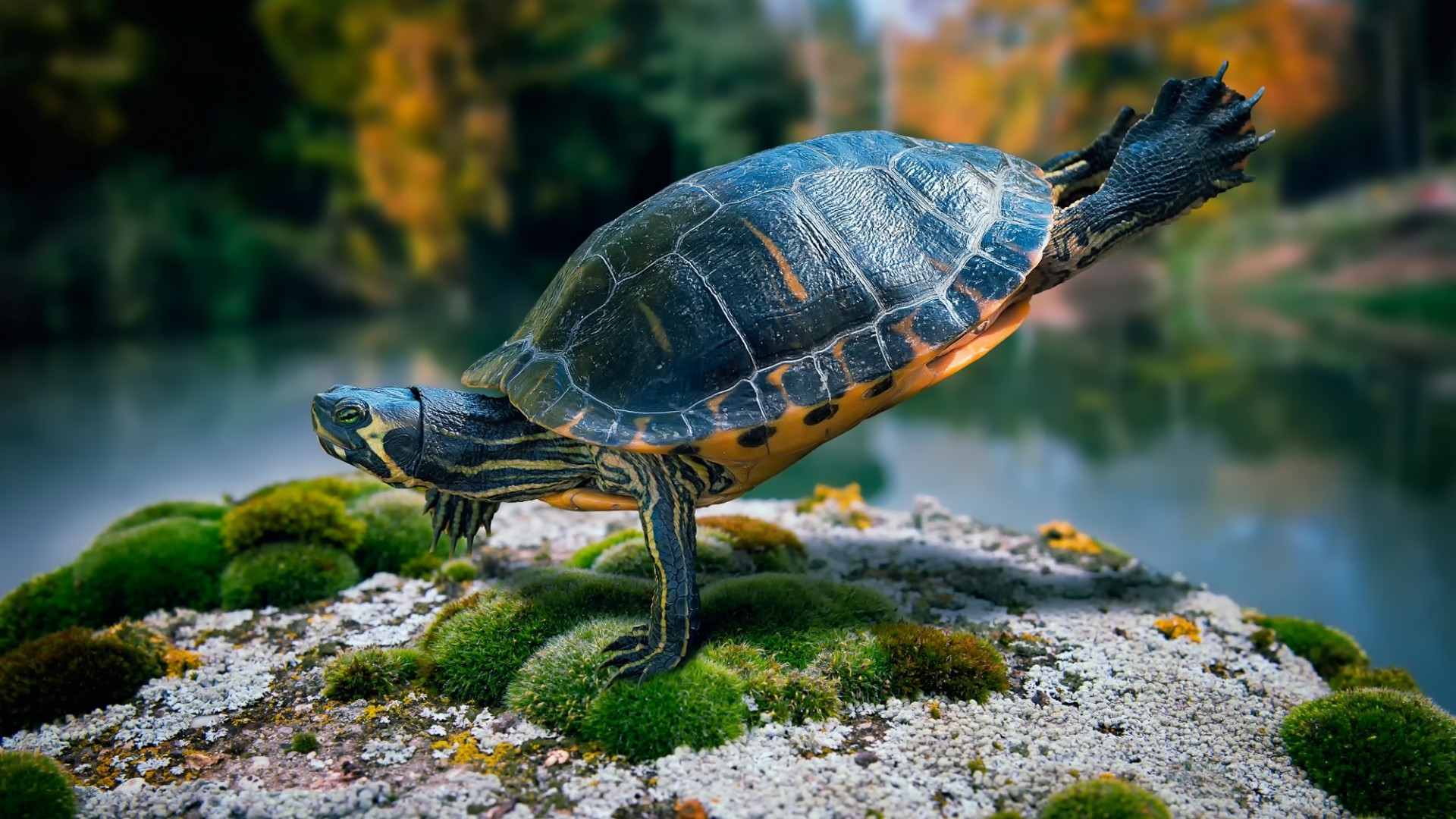 Turtle desktop wallpaper hd
