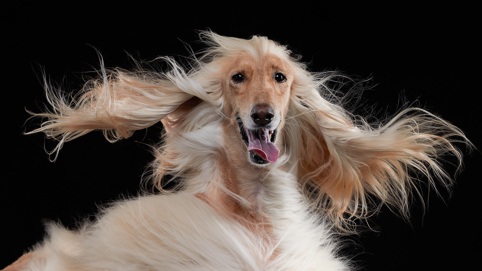 Afghan Hound wallpaper for pc