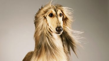 Afghan Hound computer wallpaper