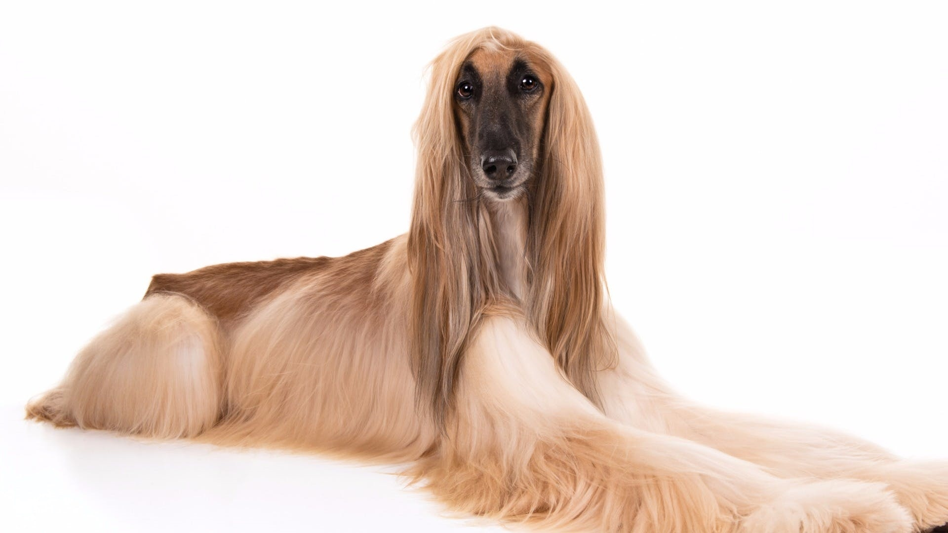 Afghan Hound desktop wallpaper hd