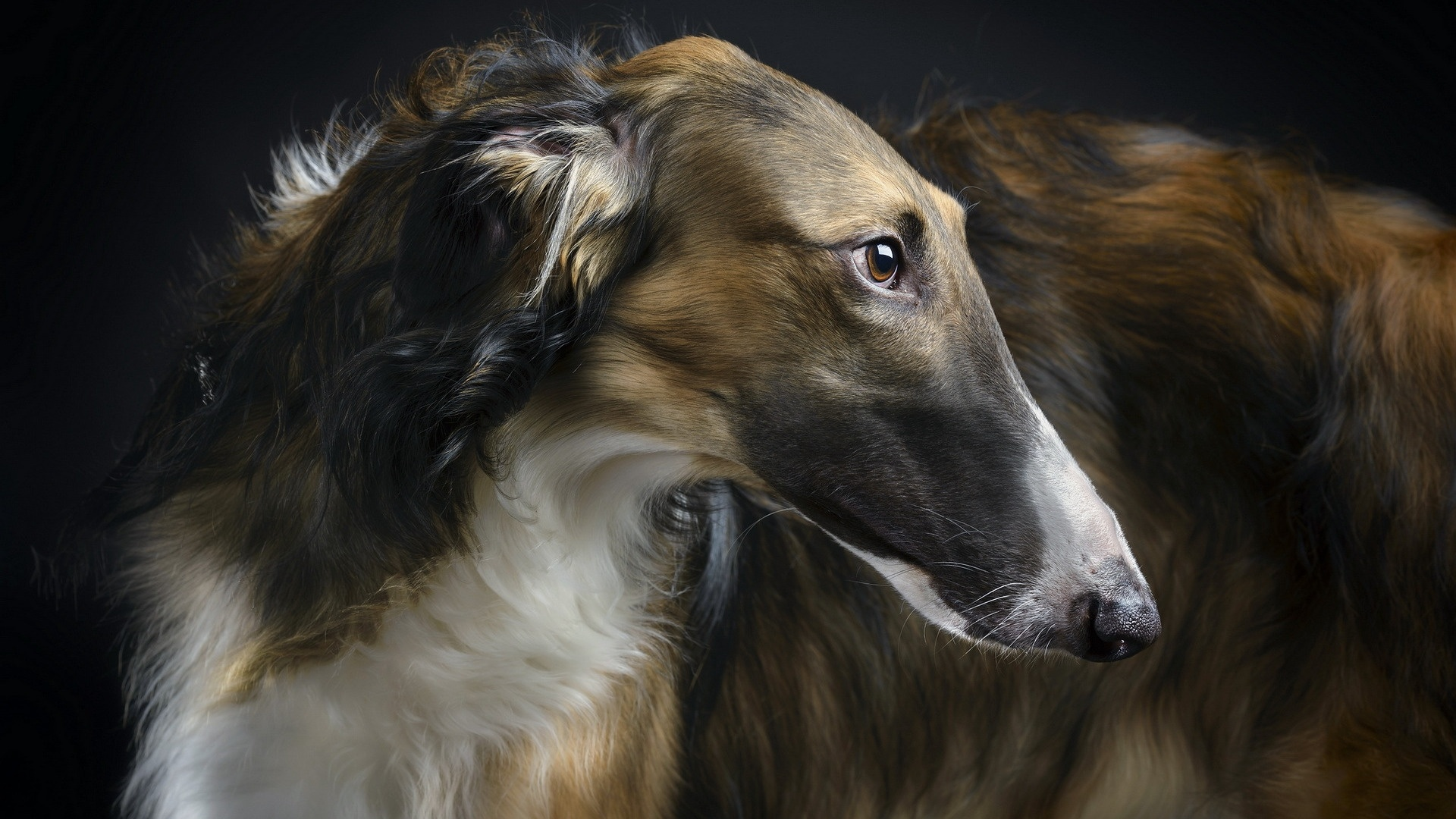 Afghan Hound wallpaper for desktop