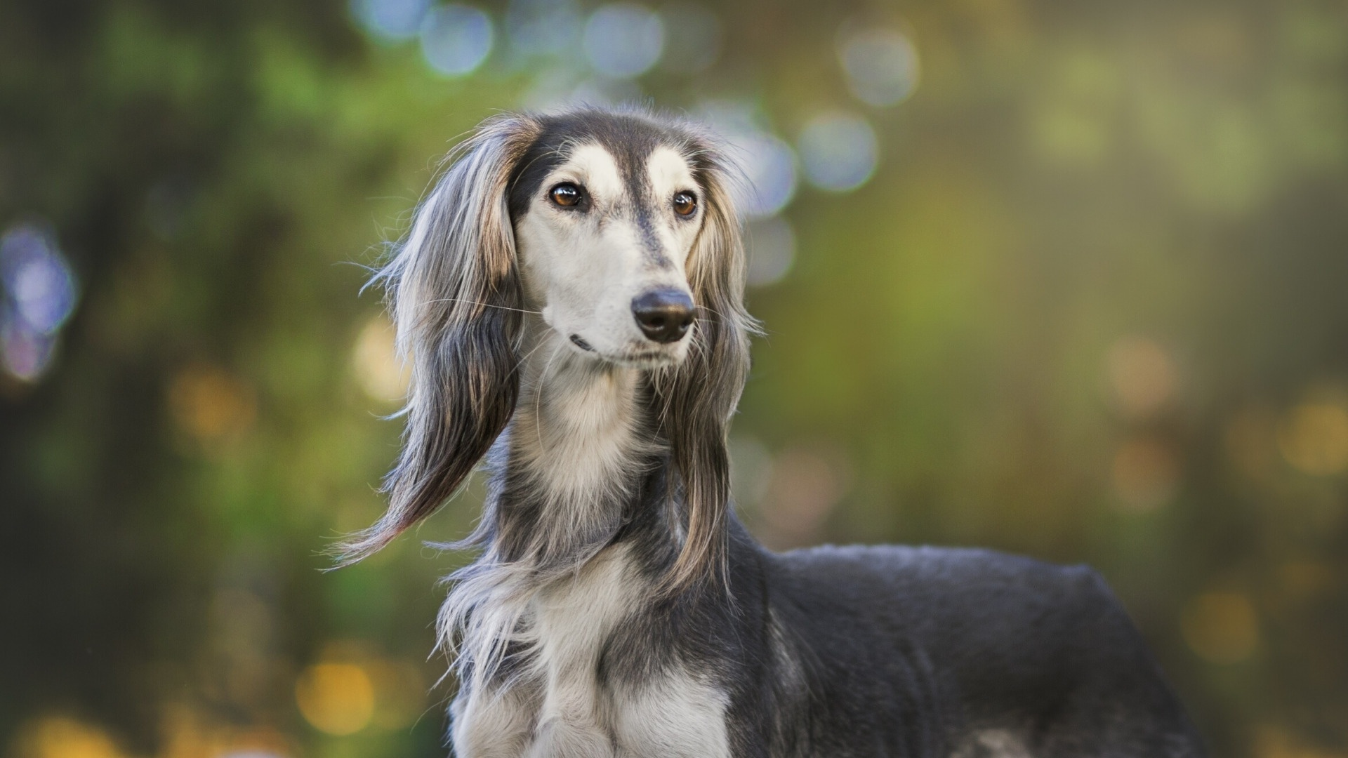 Afghan Hound wallpaper photo hd