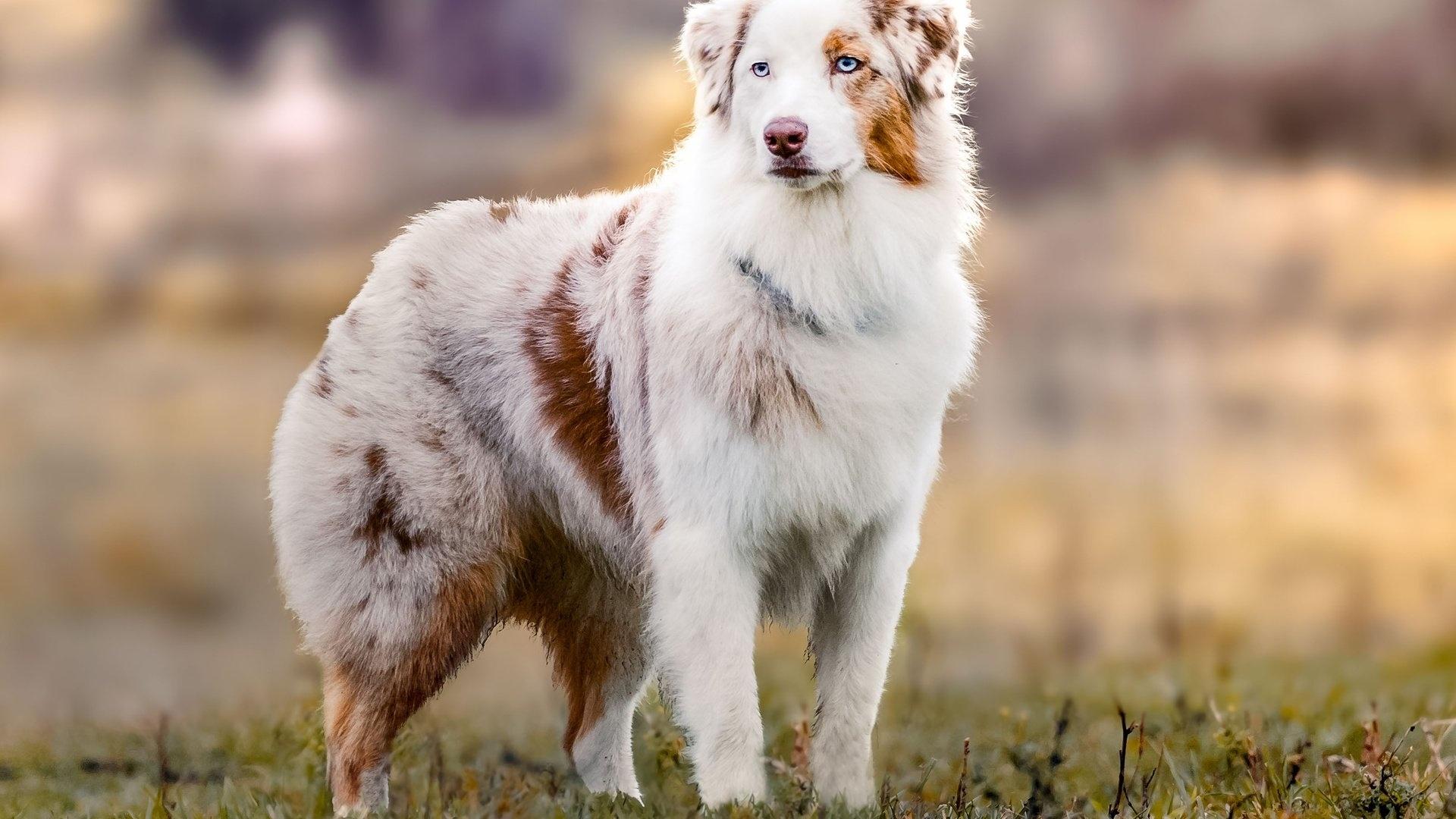Australian Shepherd Aussie Picture