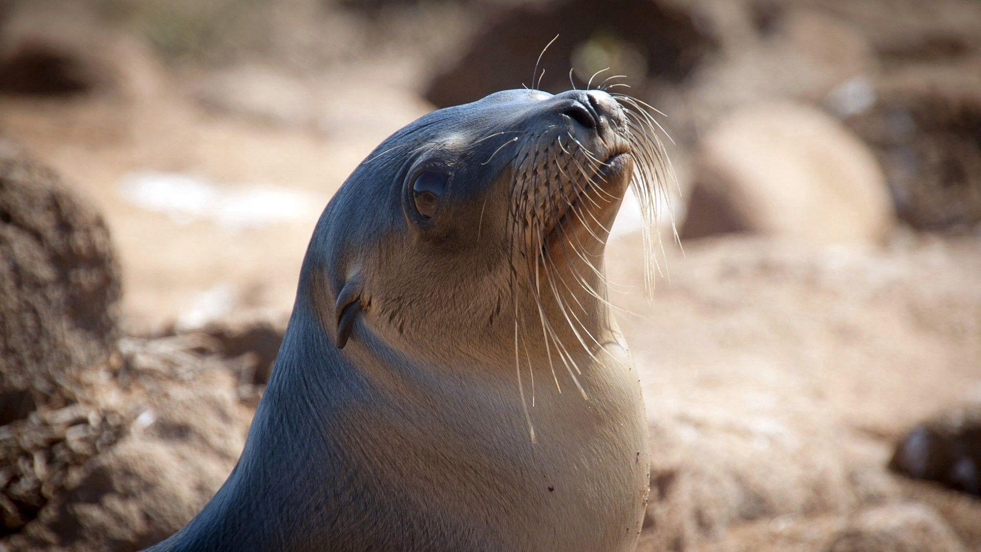 Fur Seal wallpaper photo hd