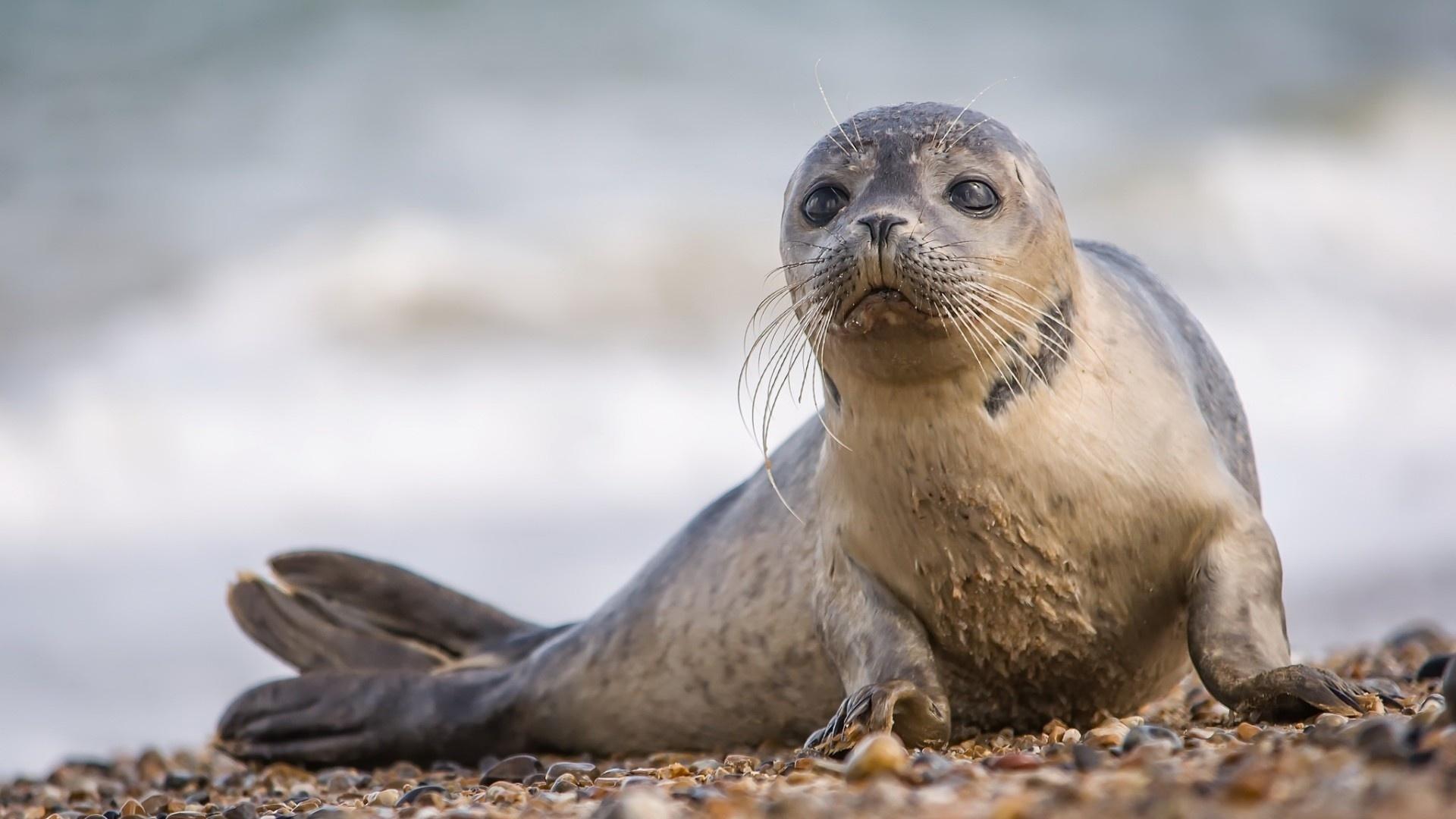 Fur Seal desktop wallpaper hd