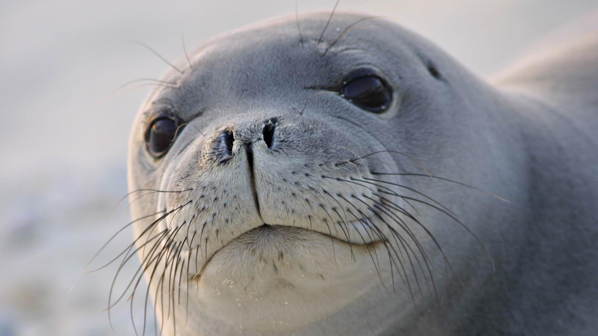 Fur Seal wallpaper for computer
