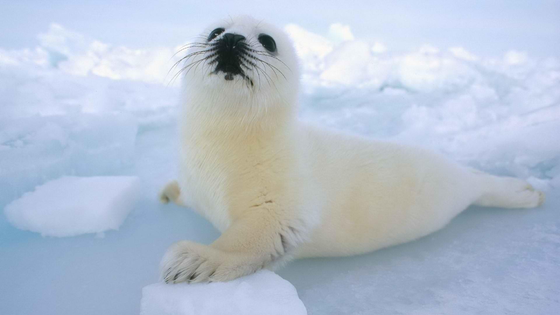 Fur Seal Background