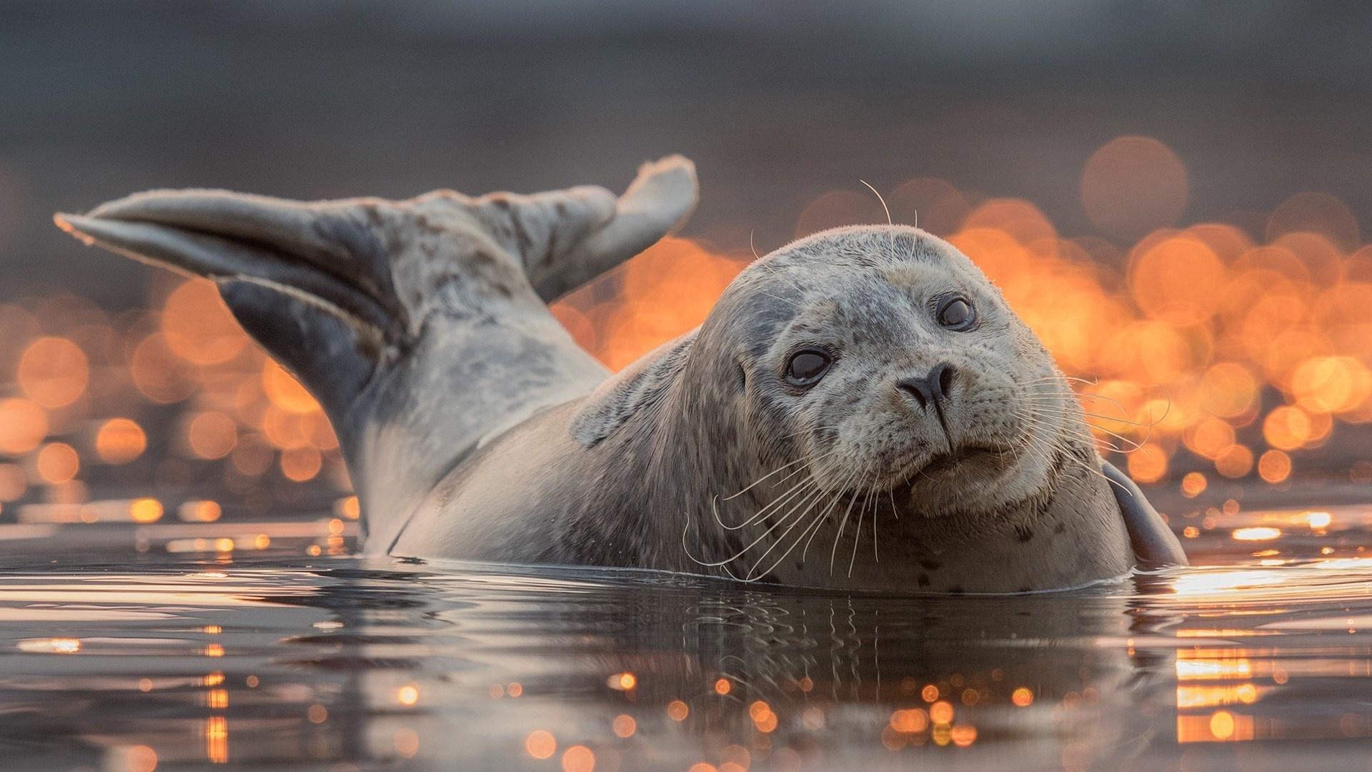 Fur Seal Wallpaper