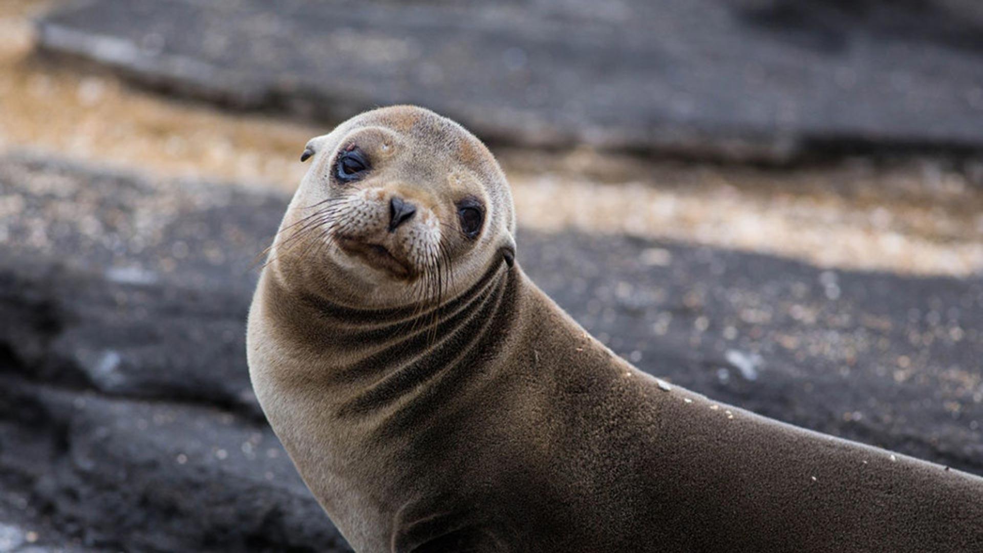 Fur Seal HD Wallpaper