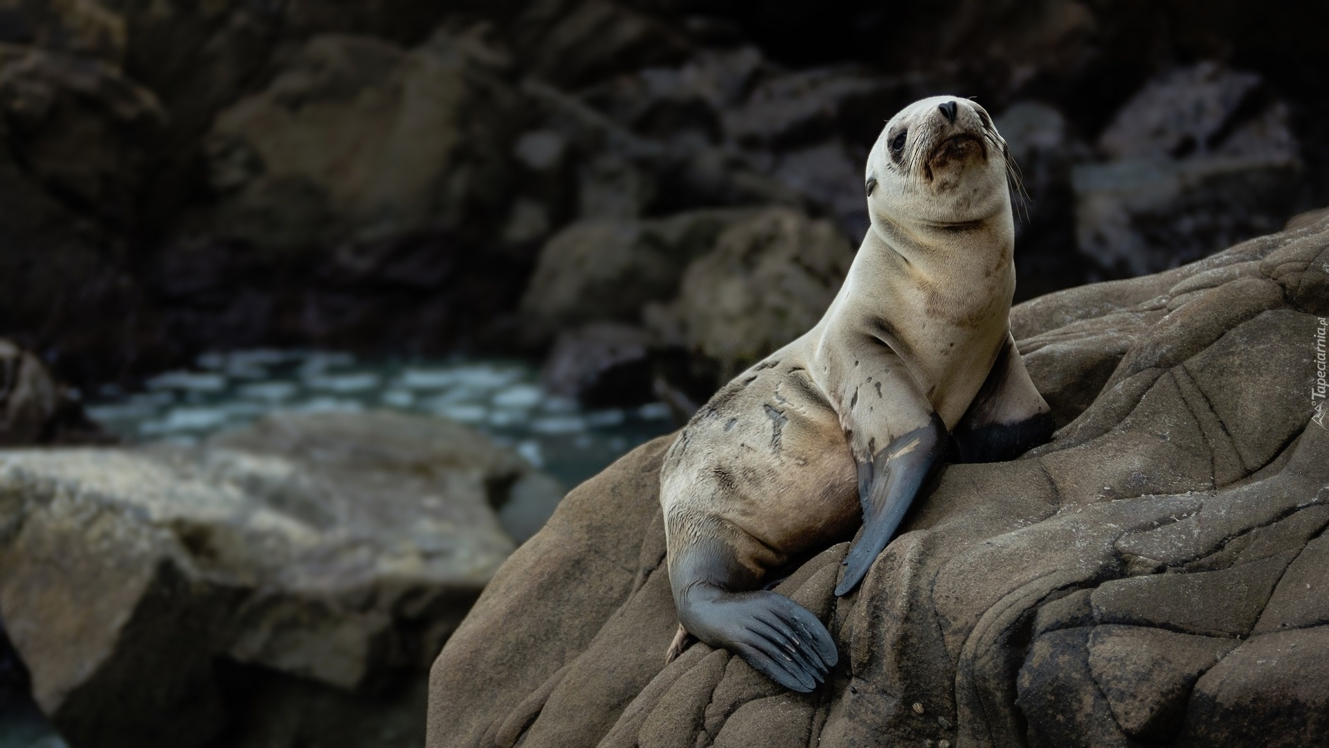 Fur Seal Picture