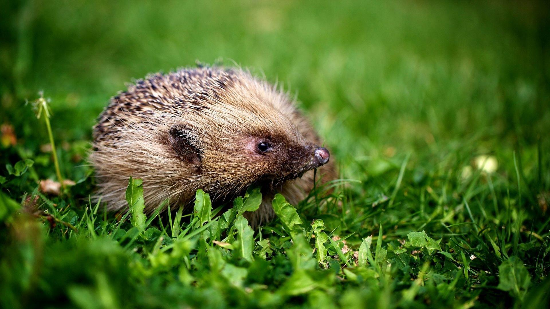 Hedgehog Desktop Wallpaper