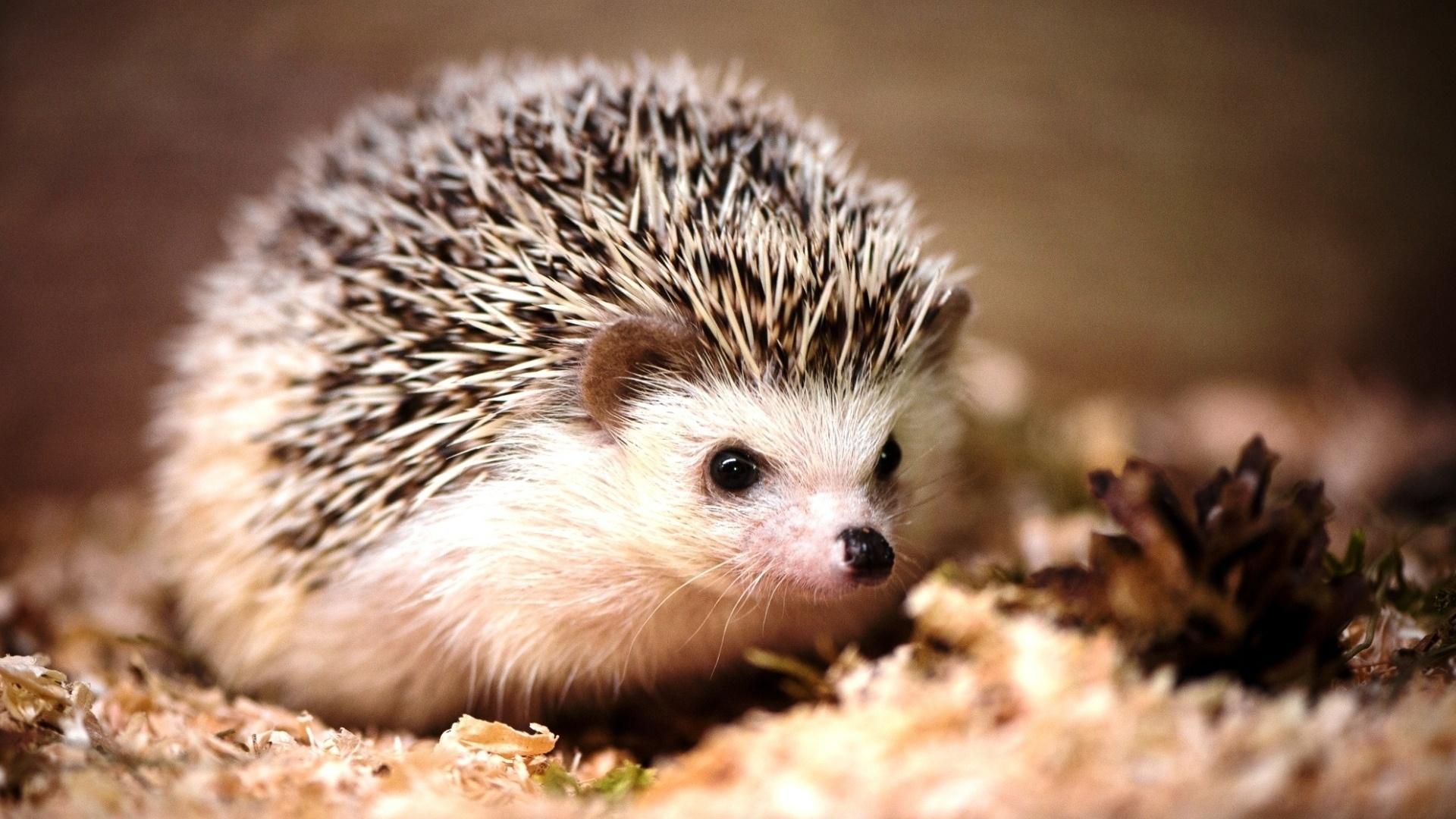 Hedgehog wallpaper for computer