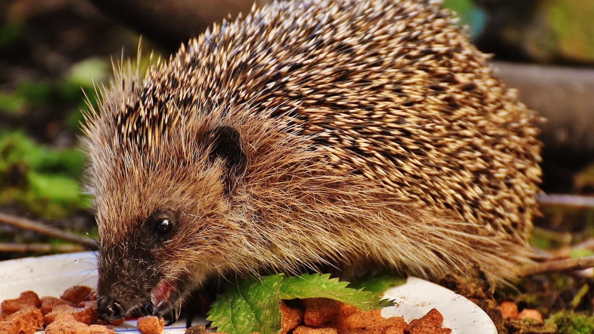 Hedgehog computer wallpaper