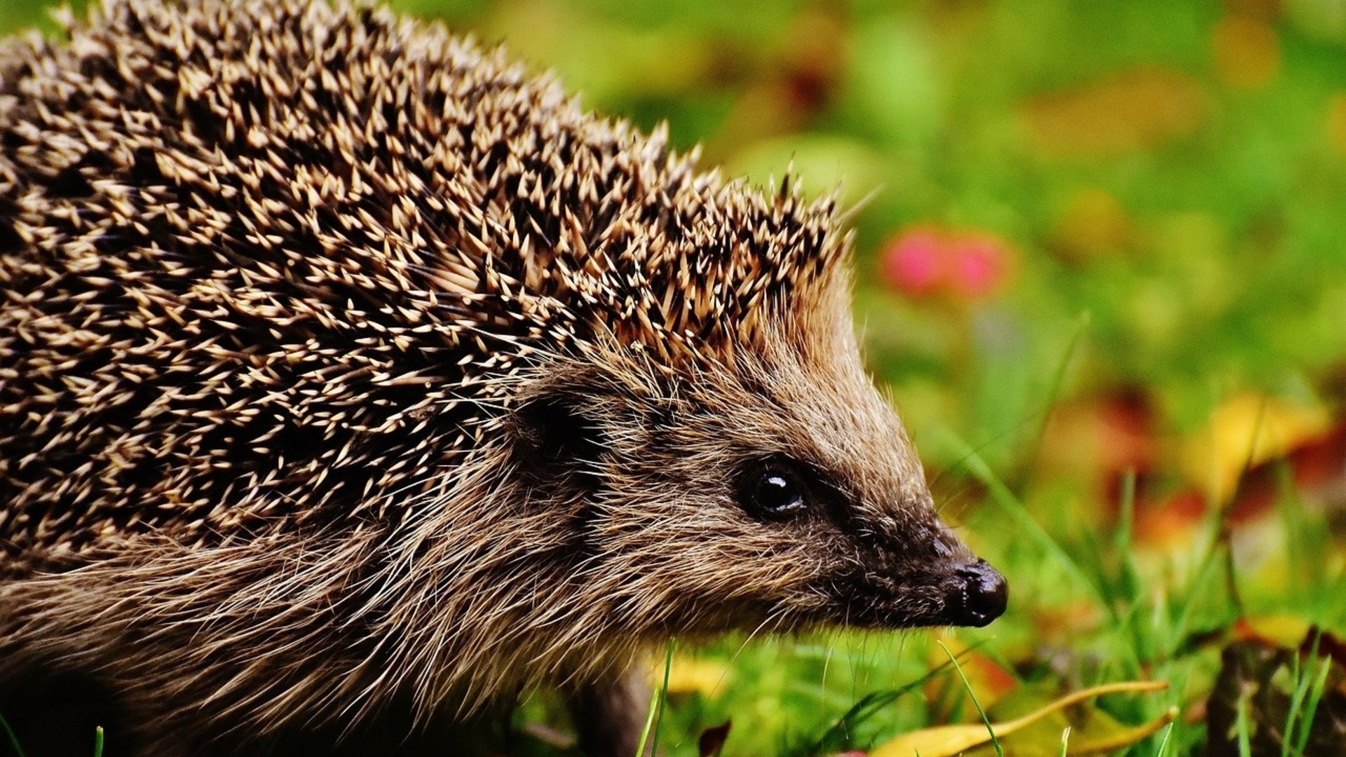 Hedgehog Picture