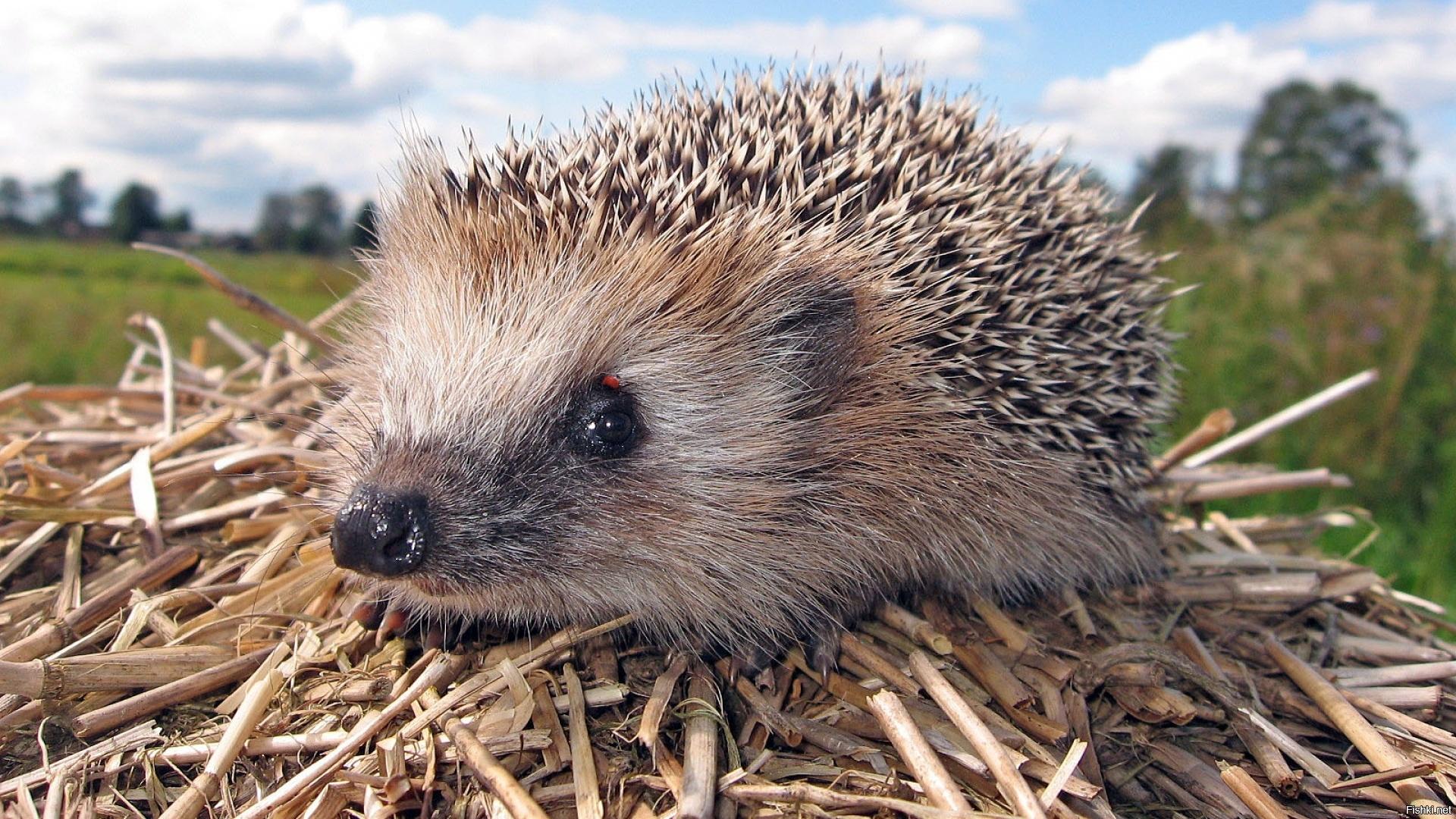 Hedgehog Pic