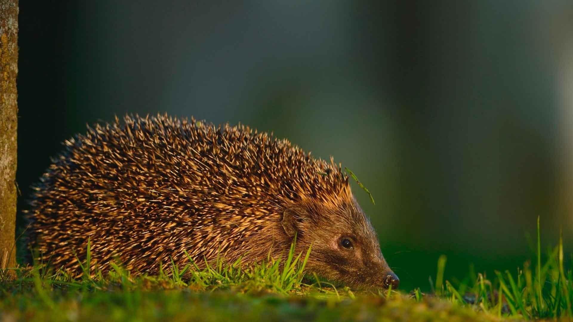 Hedgehog wallpaper photo hd