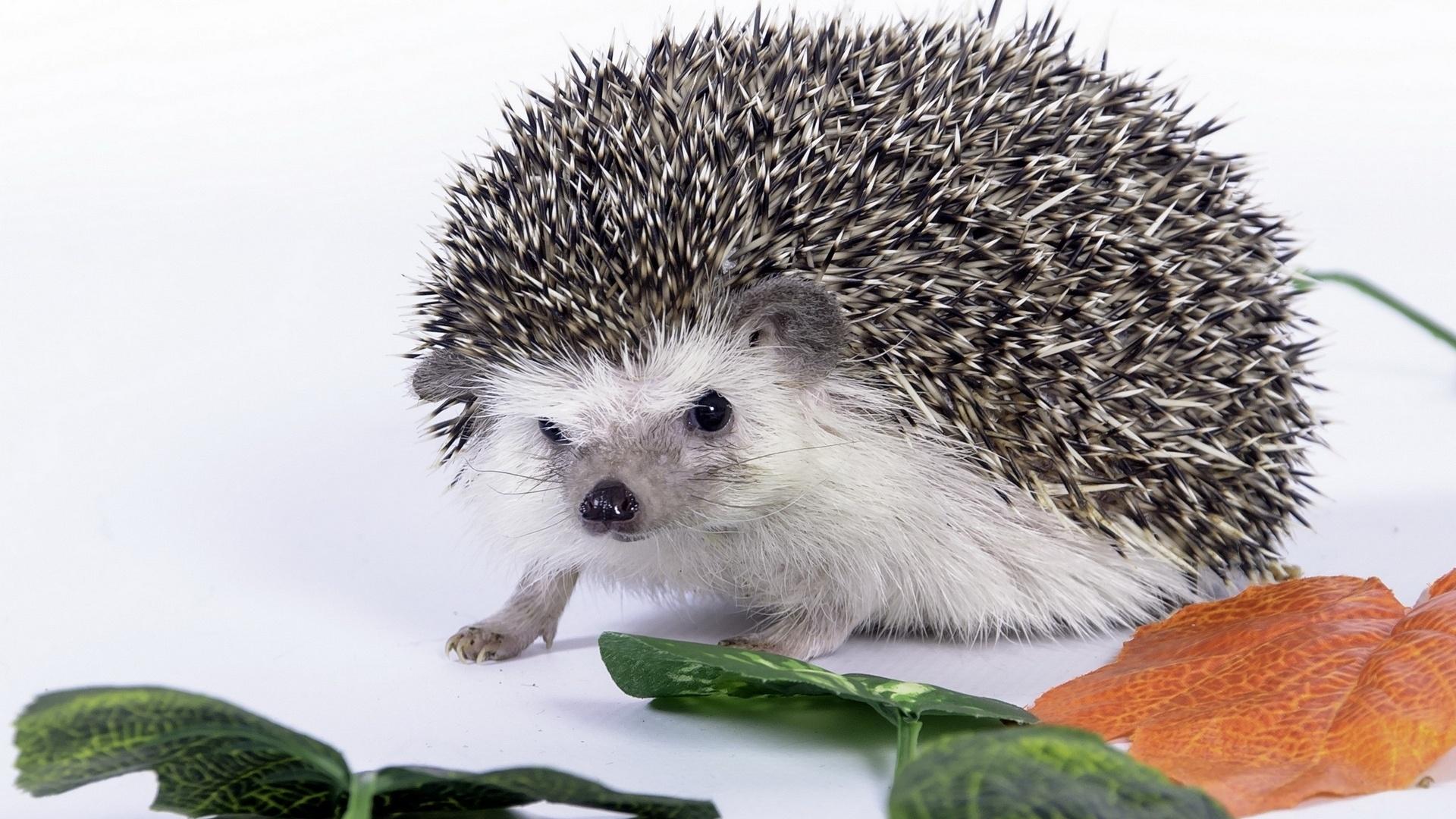 Hedgehog Background