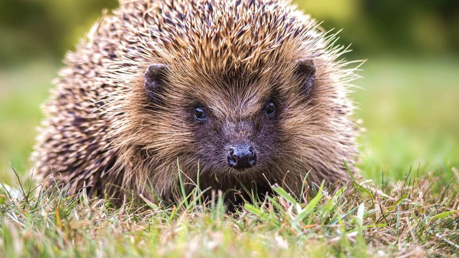 Hedgehog HD Wallpaper