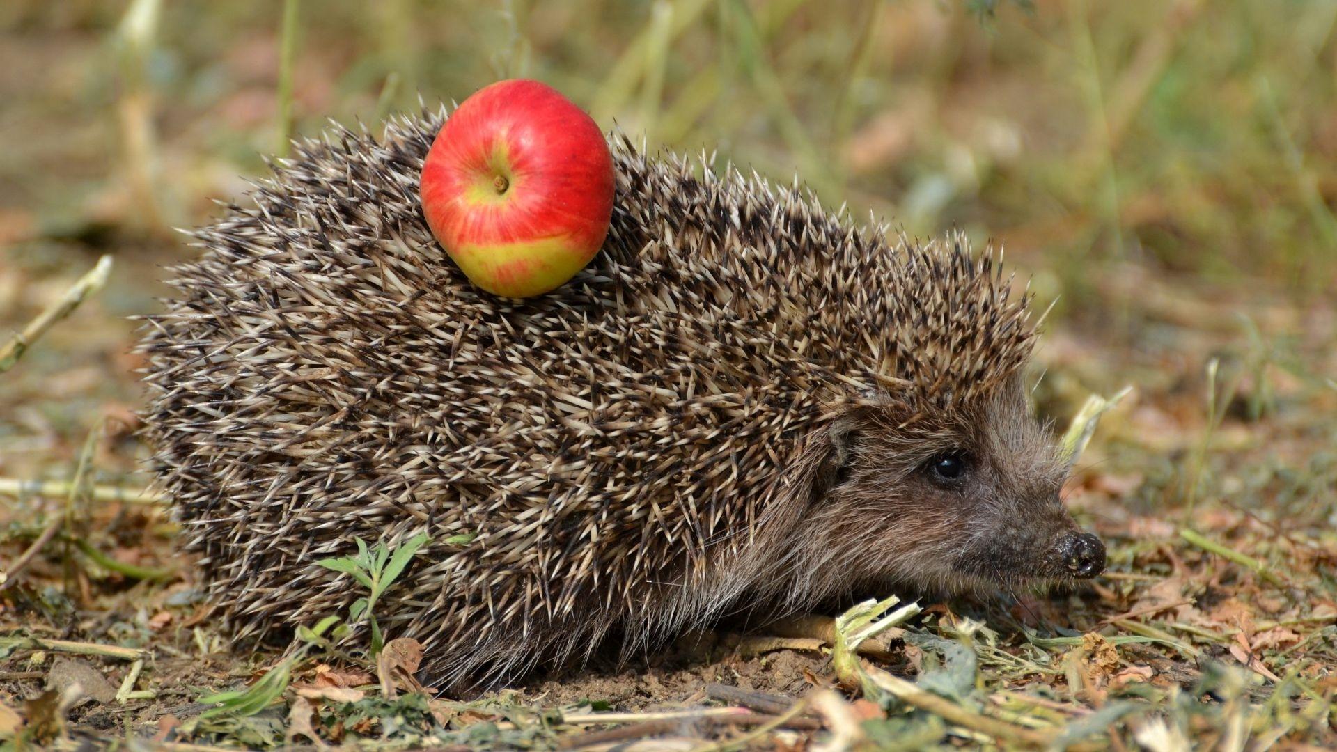 Hedgehog wallpaper for pc