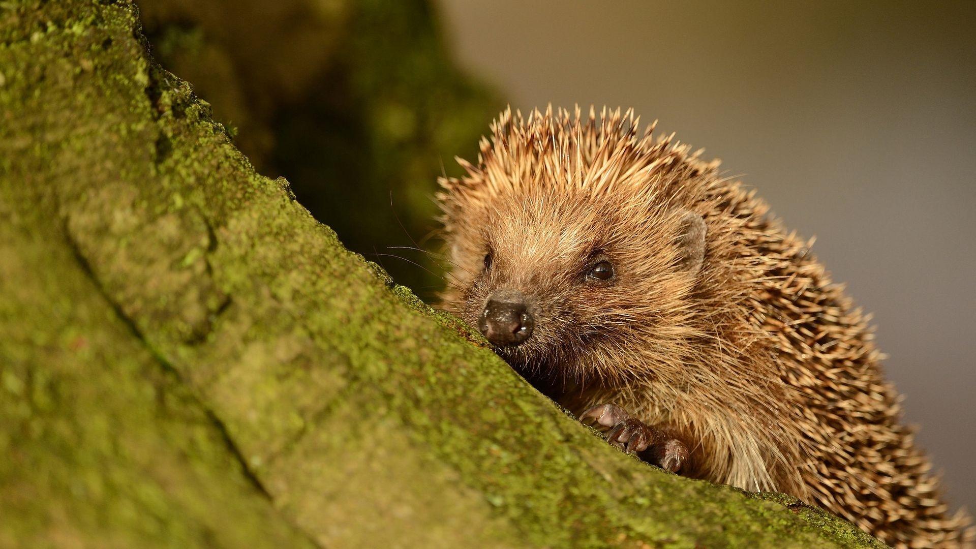 Hedgehog Wallpaper theme