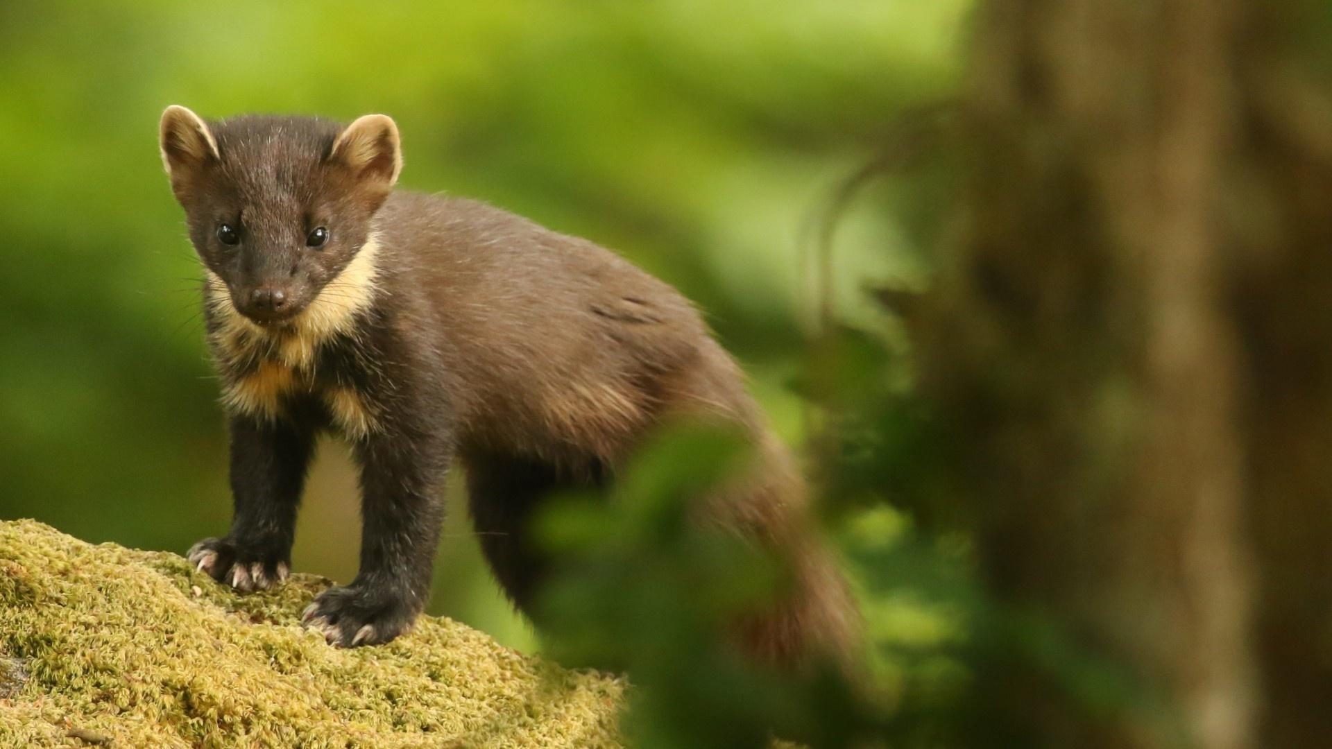 Marten wallpaper photo hd