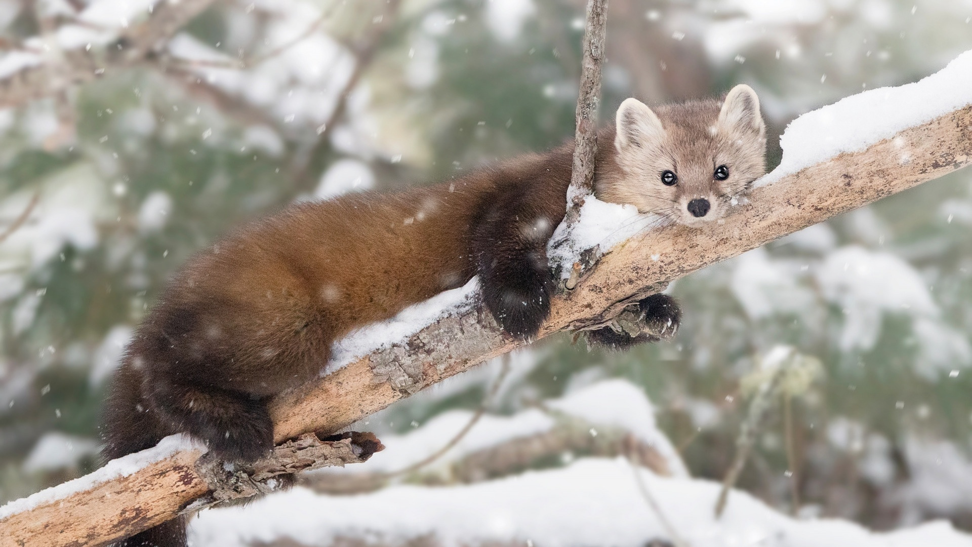 Marten desktop wallpaper hd