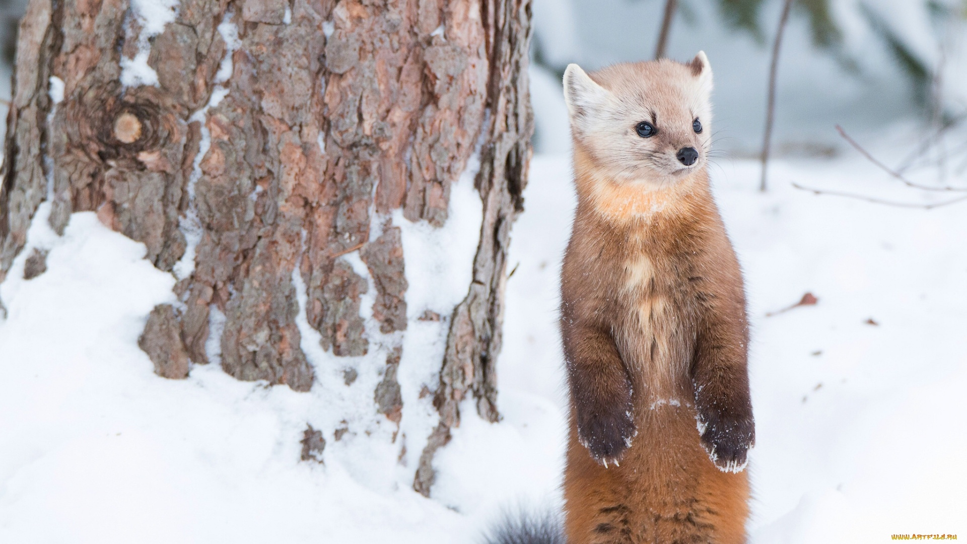 Marten HD Wallpaper