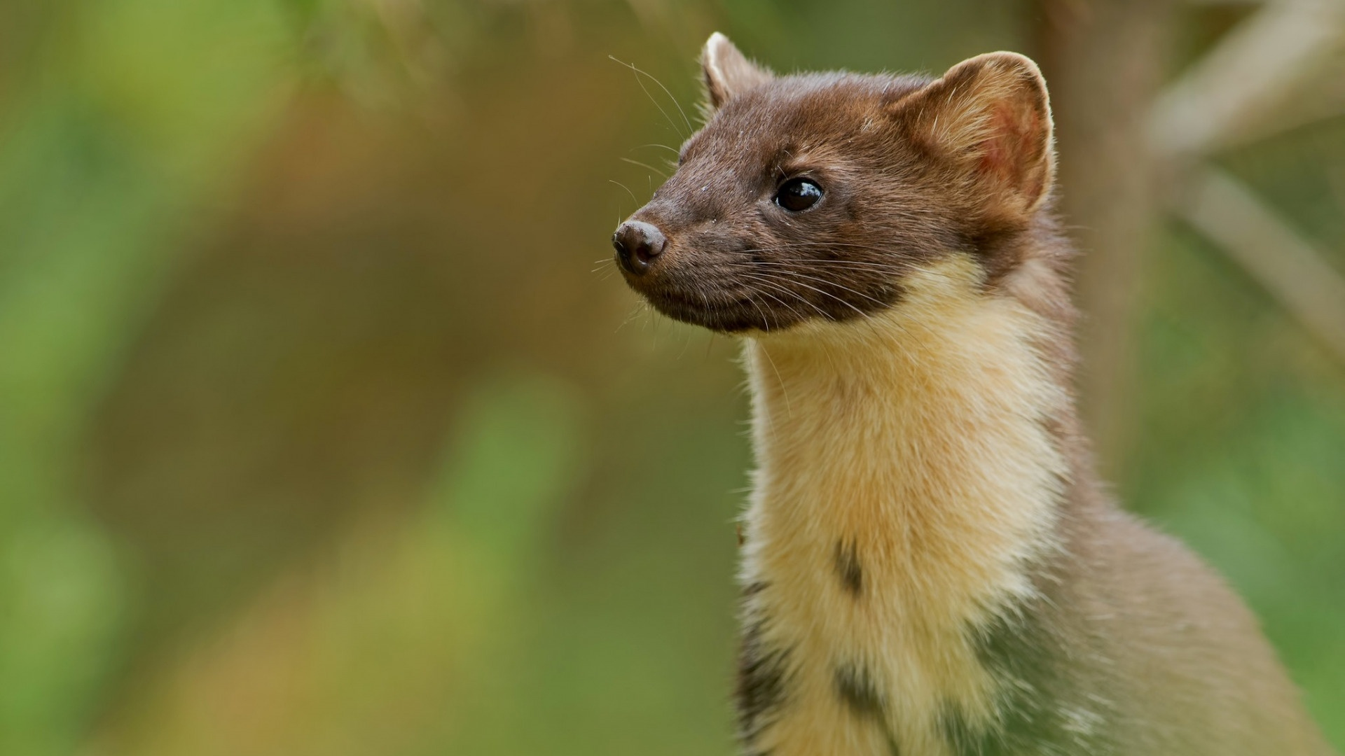 Marten wallpaper for desktop