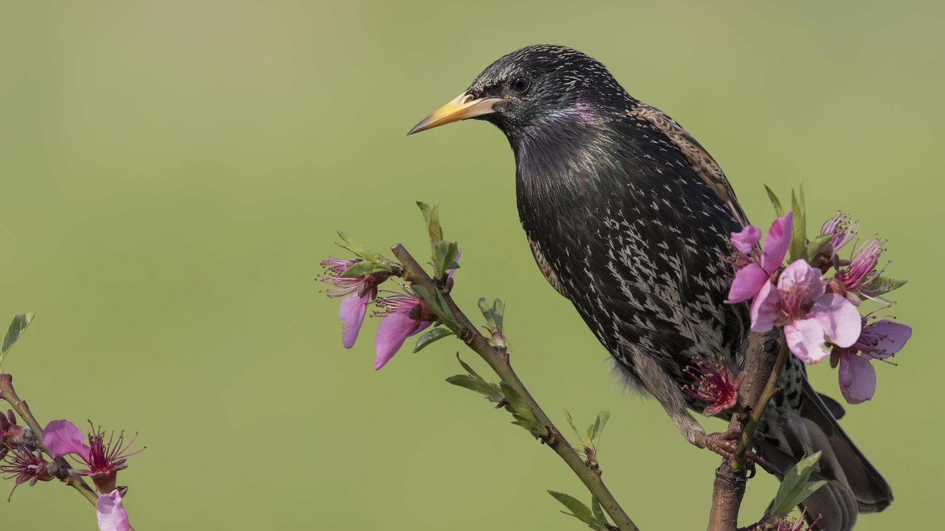 Starling Image