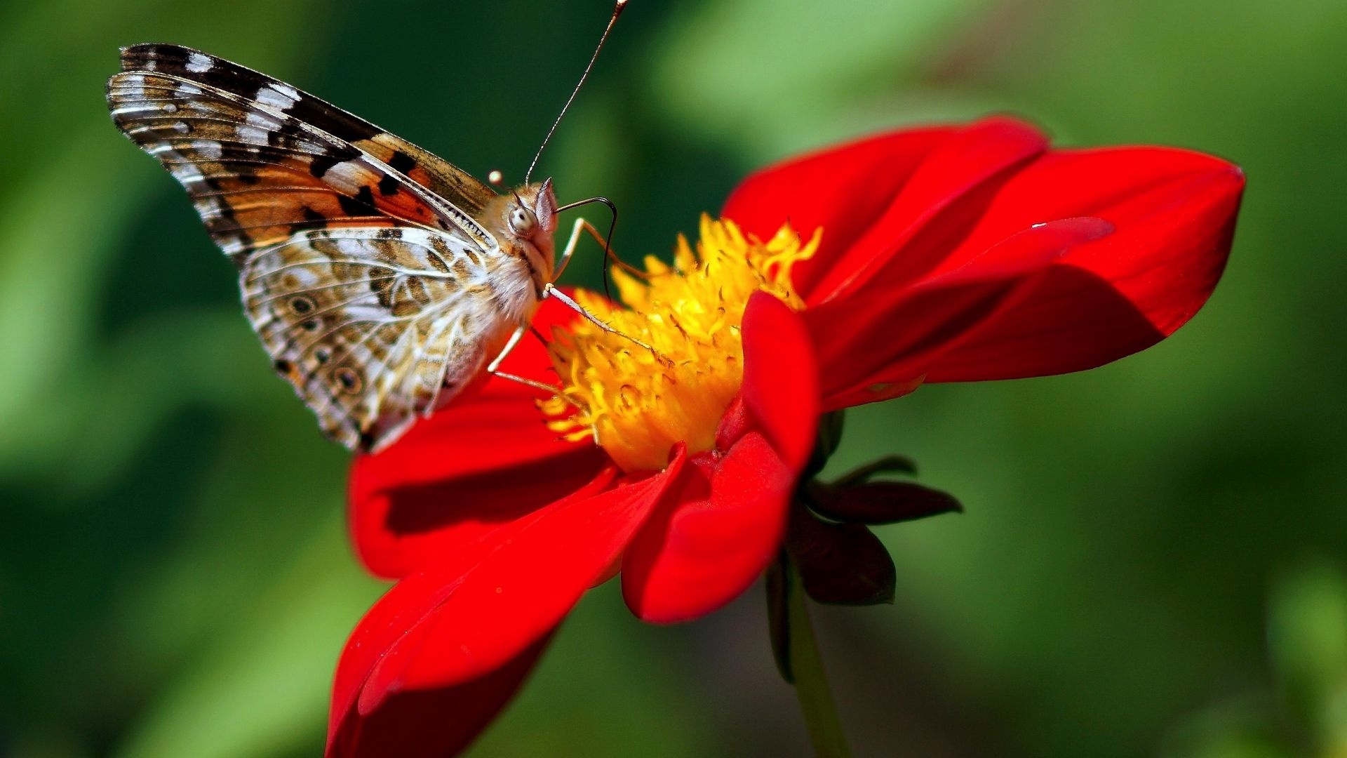 Butterfly On A Flower wallpaper for pc