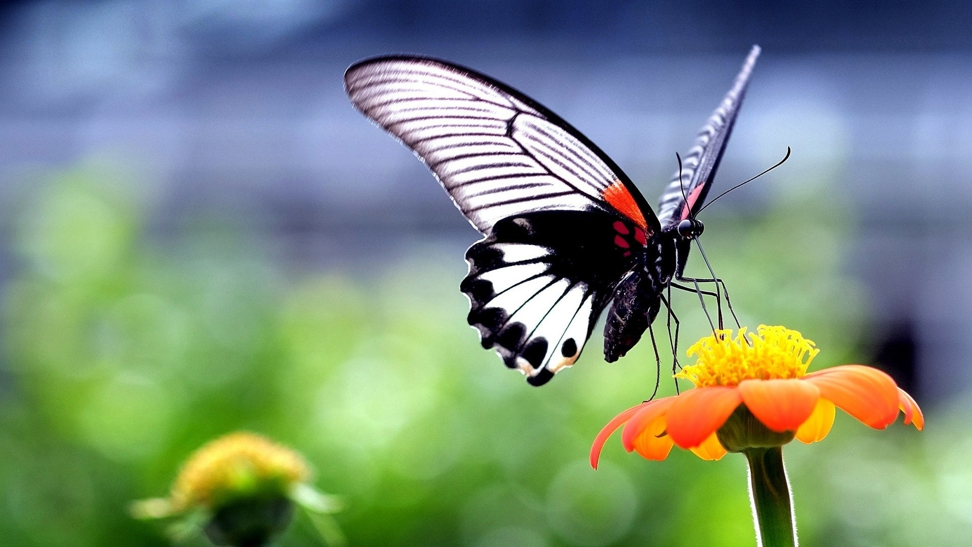 Butterfly On A Flower computer wallpaper
