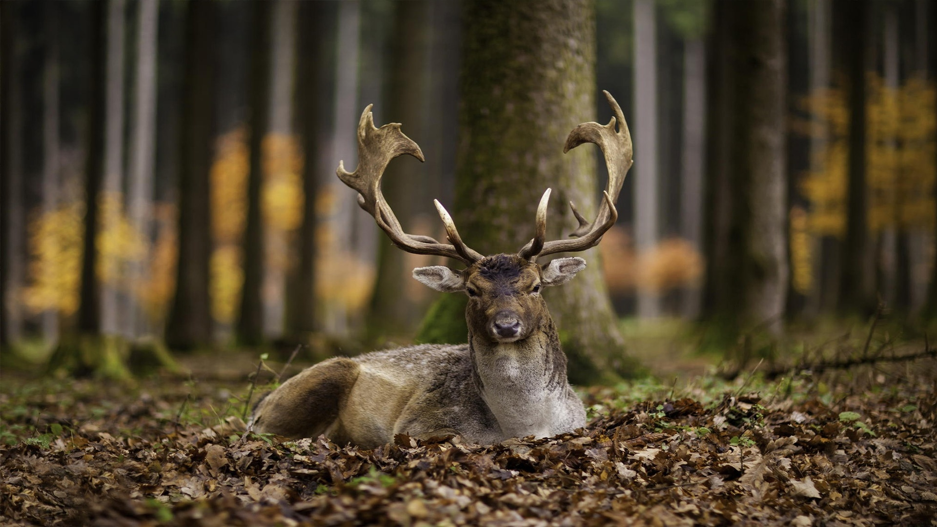 Deer In The Forest HD Wallpaper