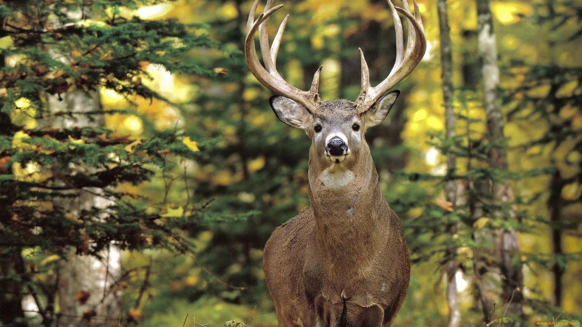 Deer In The Forest desktop wallpaper hd