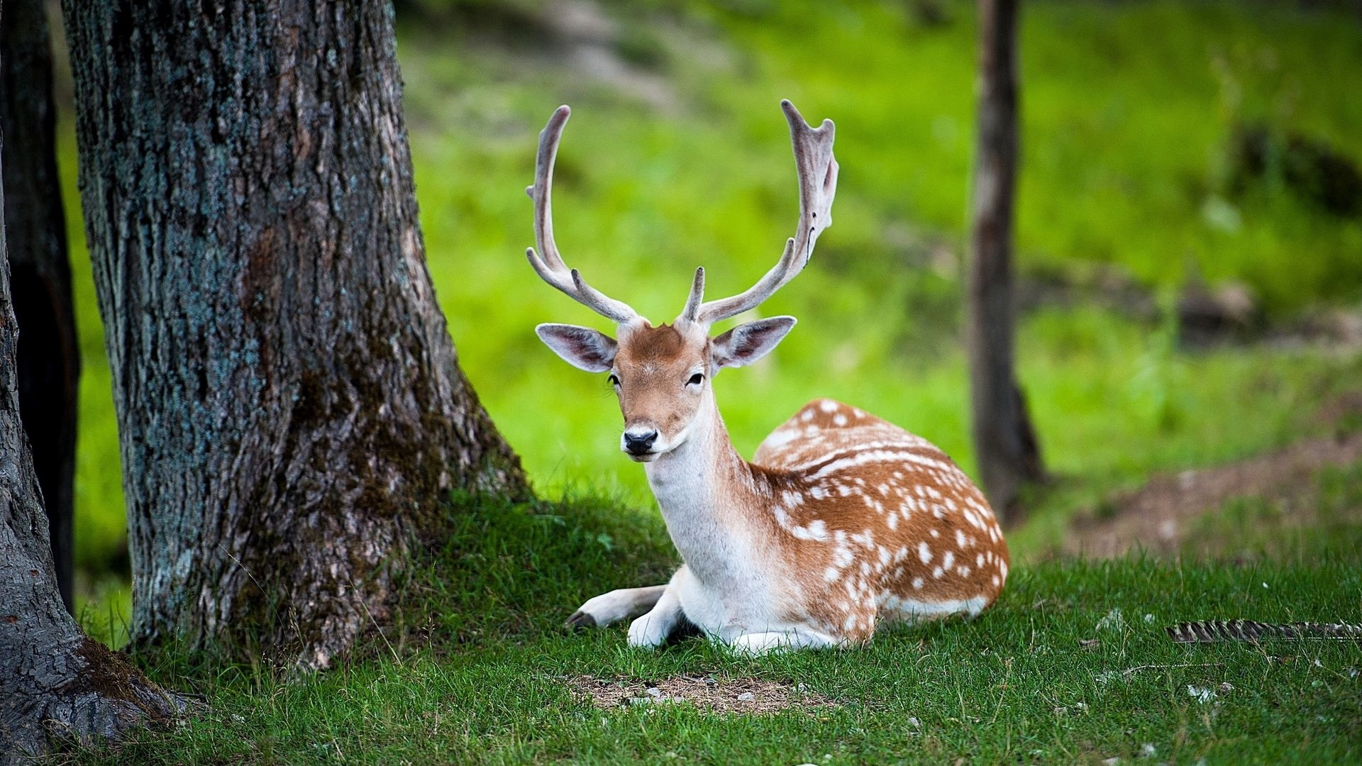 Deer In The Forest Background