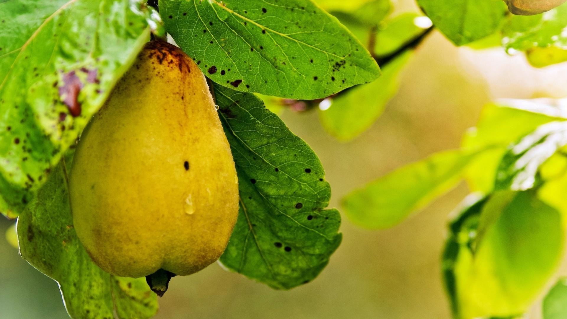 Pear computer wallpaper