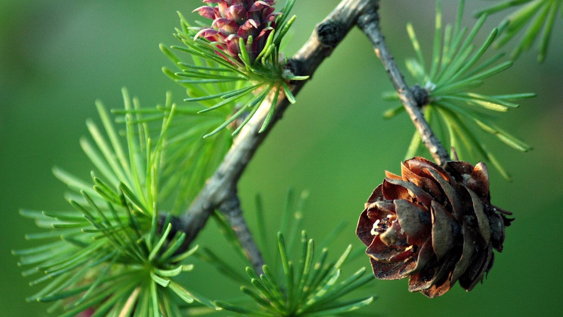 Pine Cone wallpaper for desktop