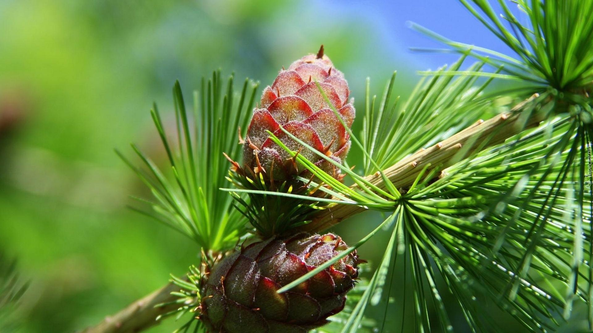 Pine Cone HD Wallpaper