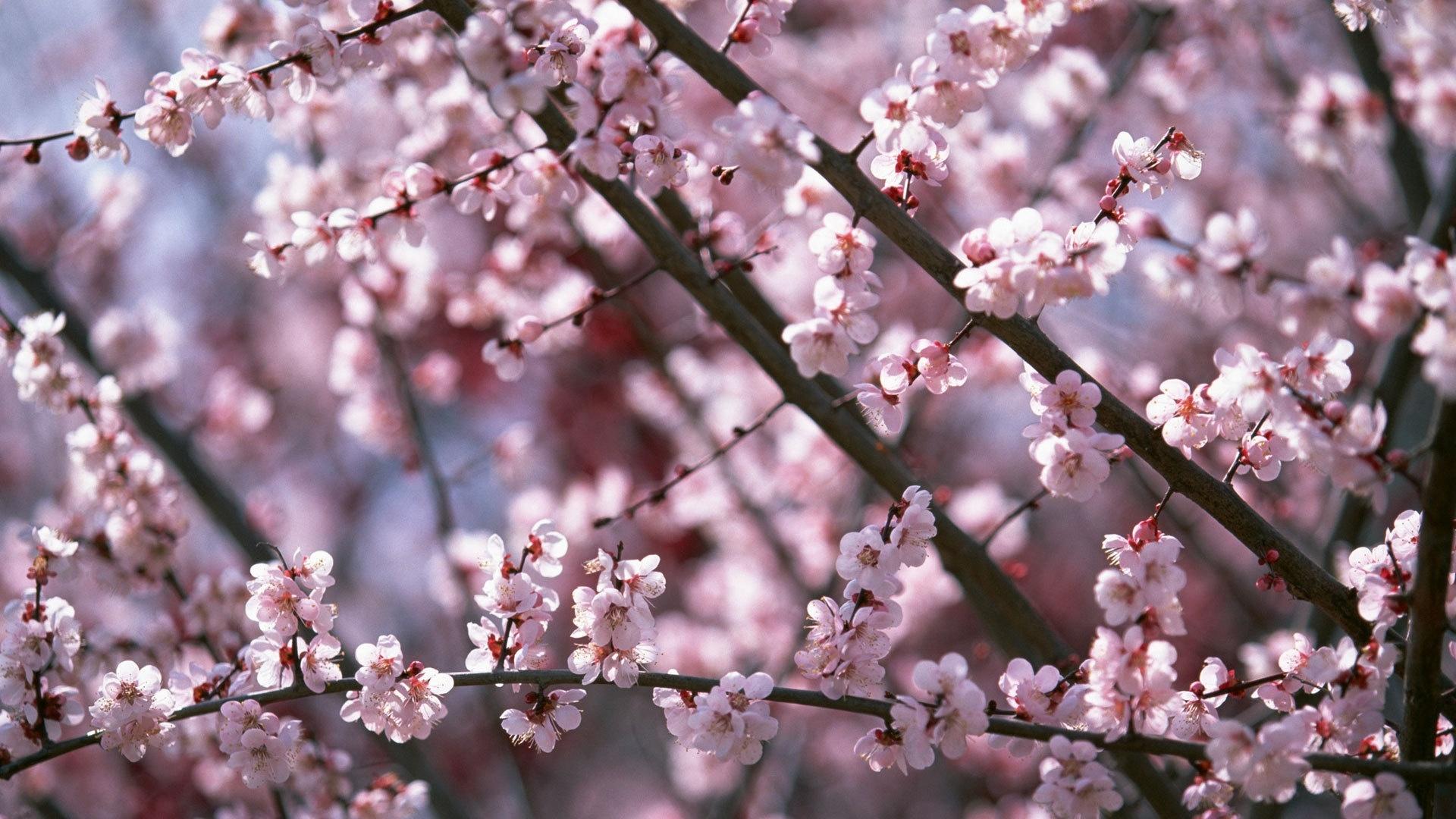 Sakura Blossom wallpaper photo hd