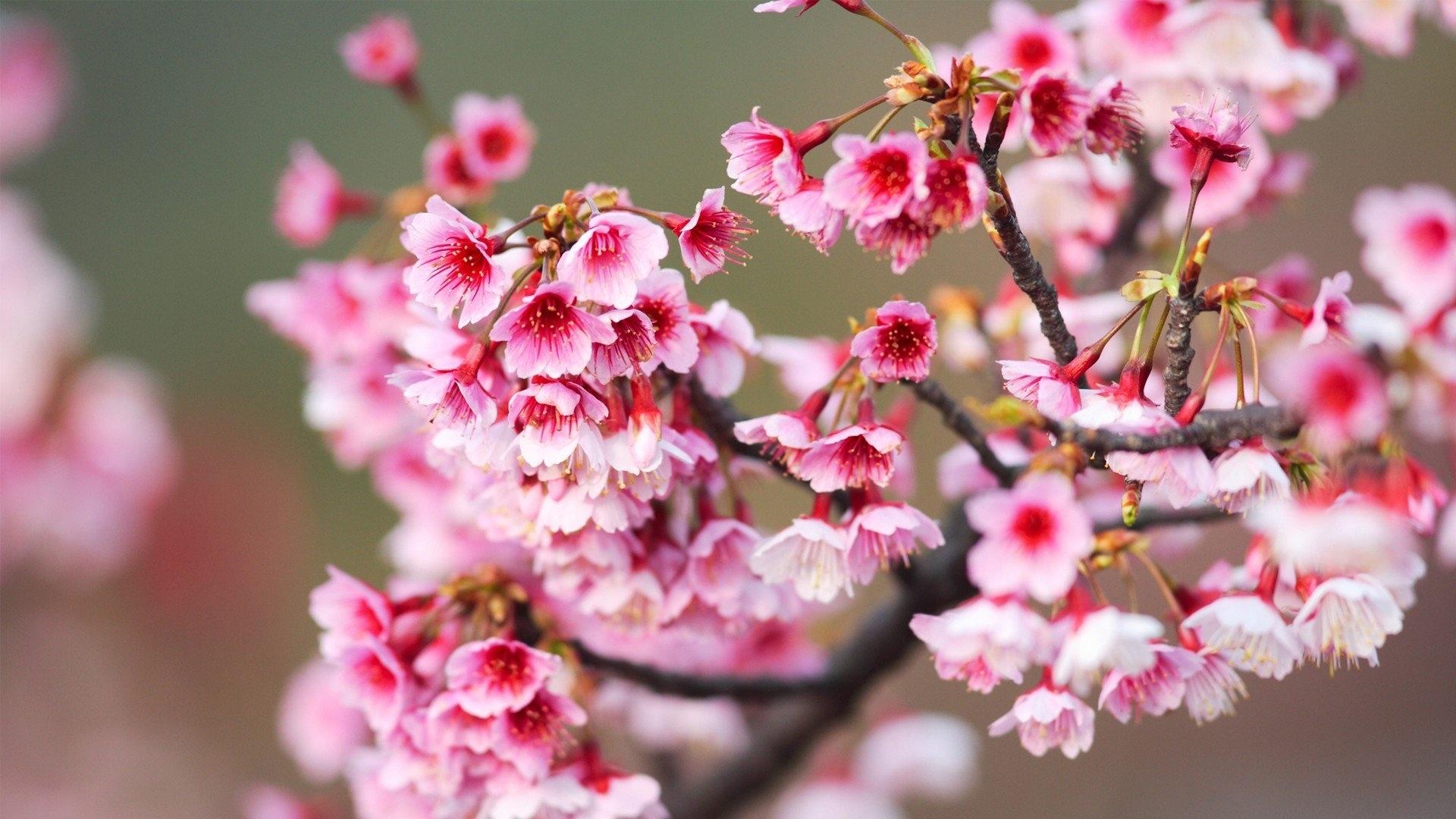 Sakura Blossom desktop wallpaper hd