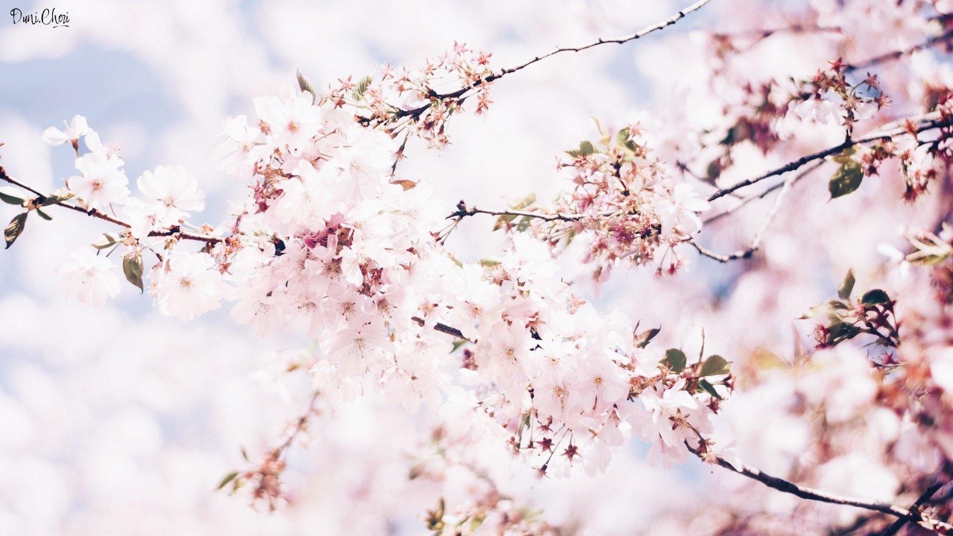 Sakura Blossom wallpaper for pc