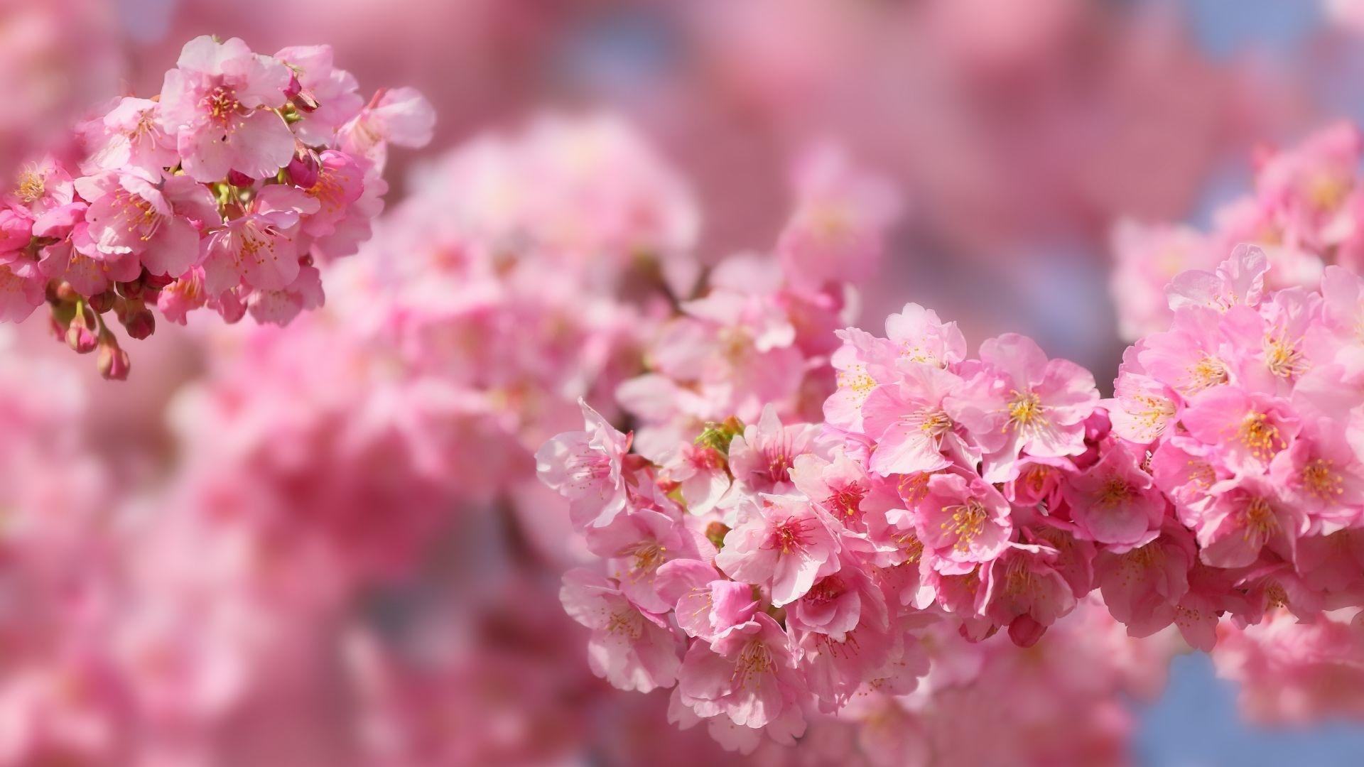 Sakura Blossom Desktop Wallpaper