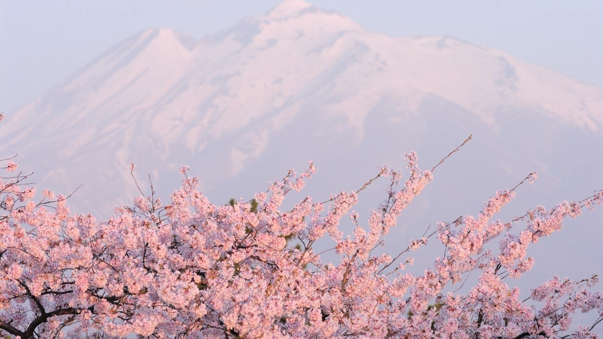 Sakura Blossom Pic