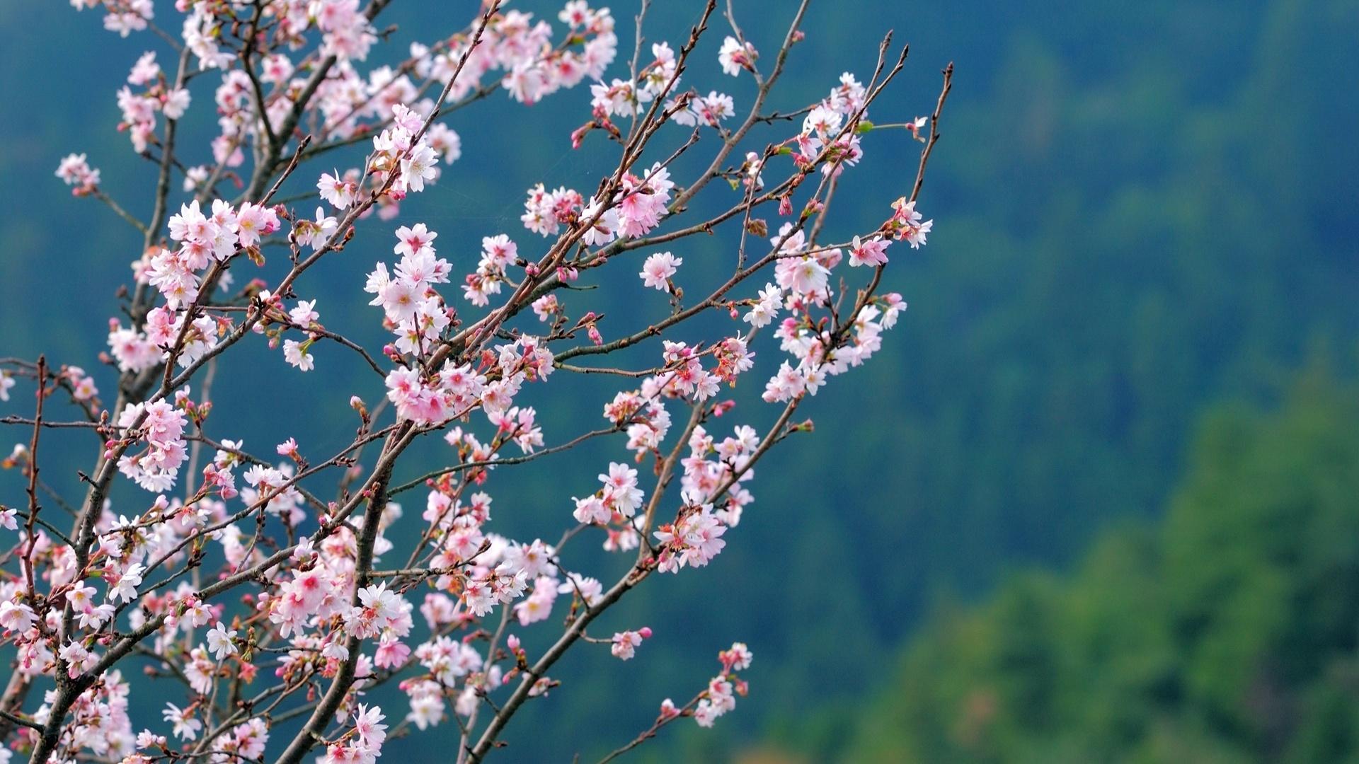 Sakura Blossom wallpaper for computer