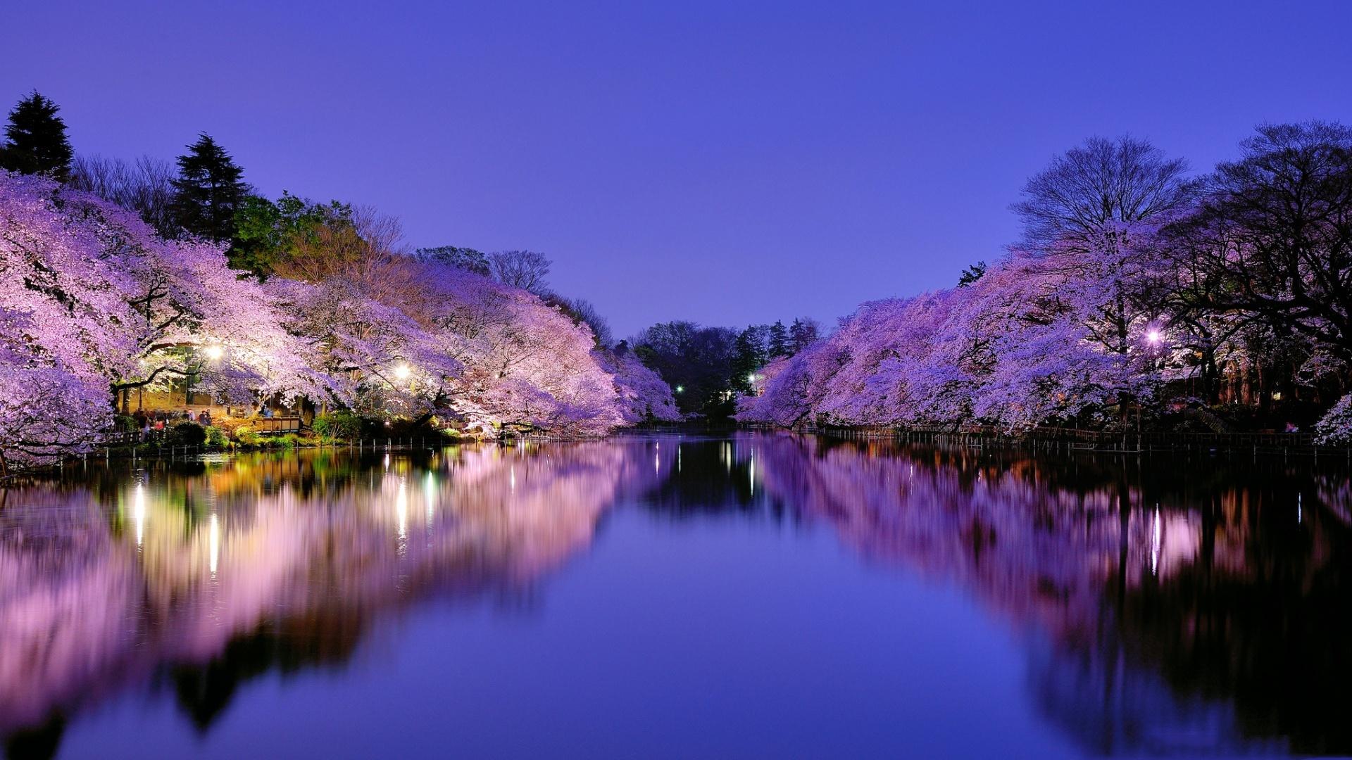 Sakura Blossom Picture