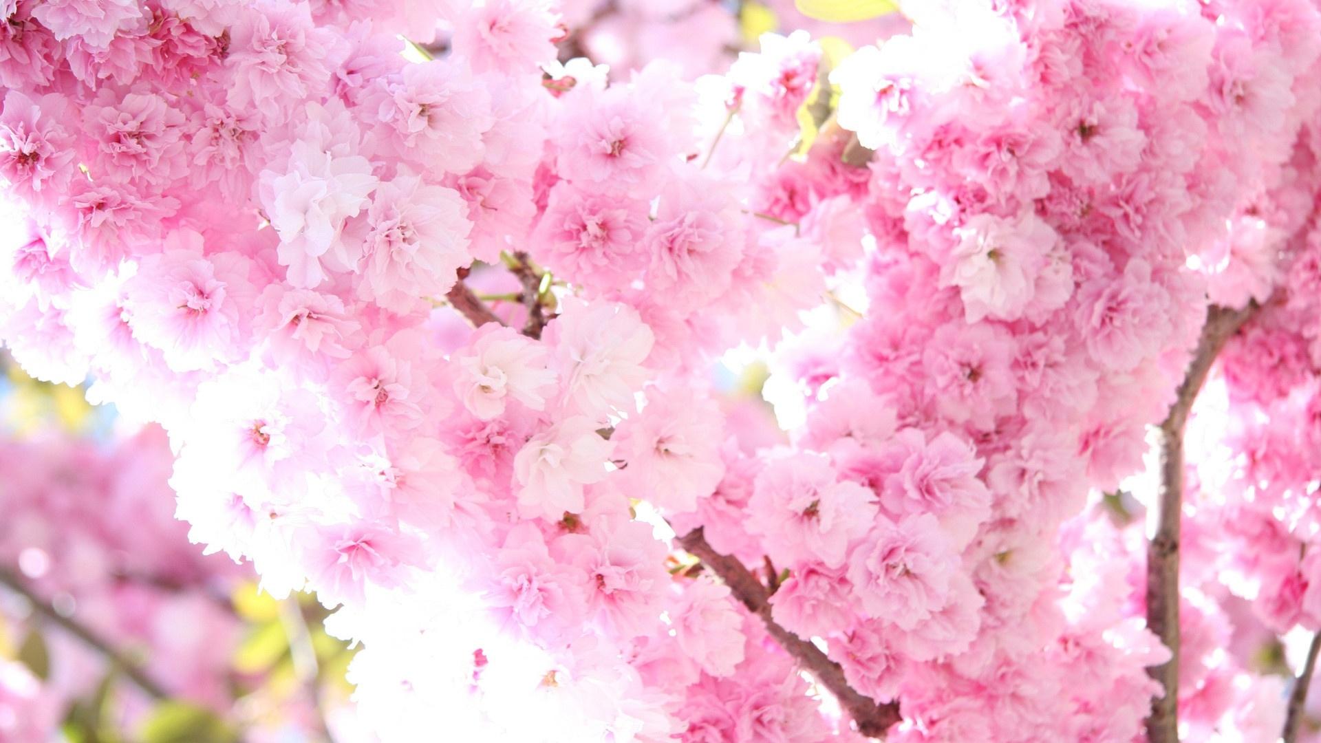 Sakura Blossom computer wallpaper